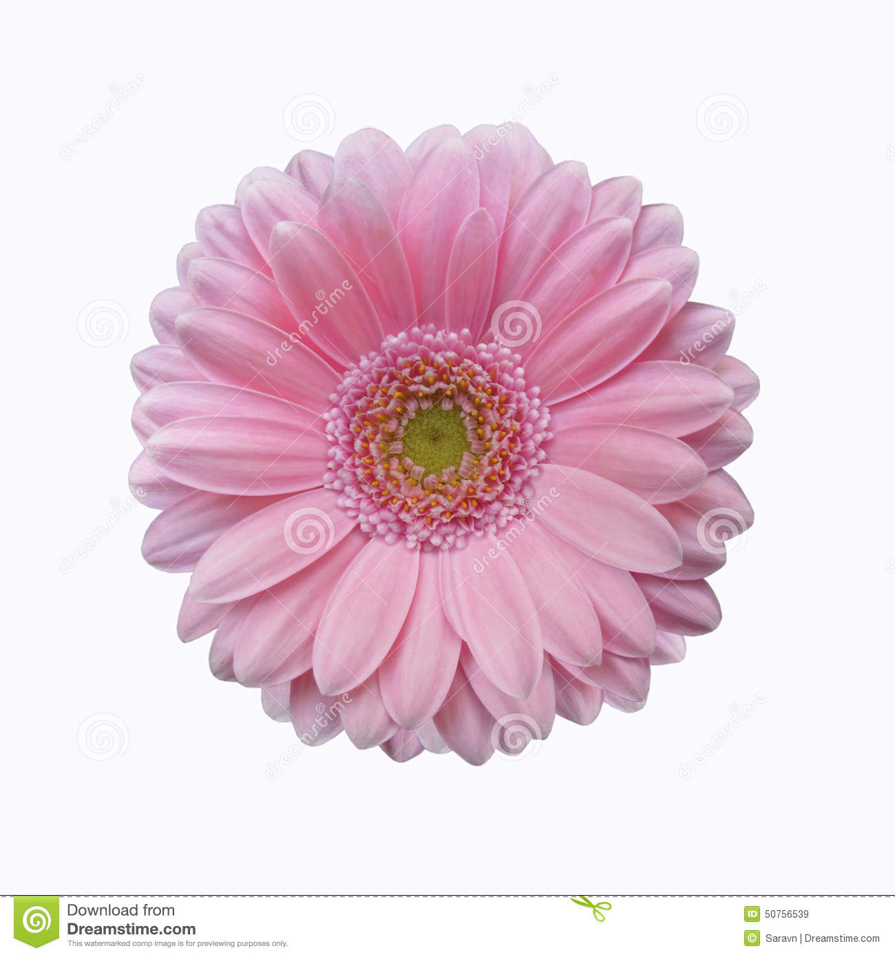 Isolated Soft Pink Gerbera Daisy Flower Stock Image Image Of