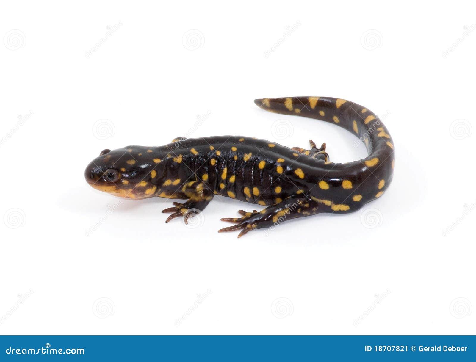 salamander white background - photo #37