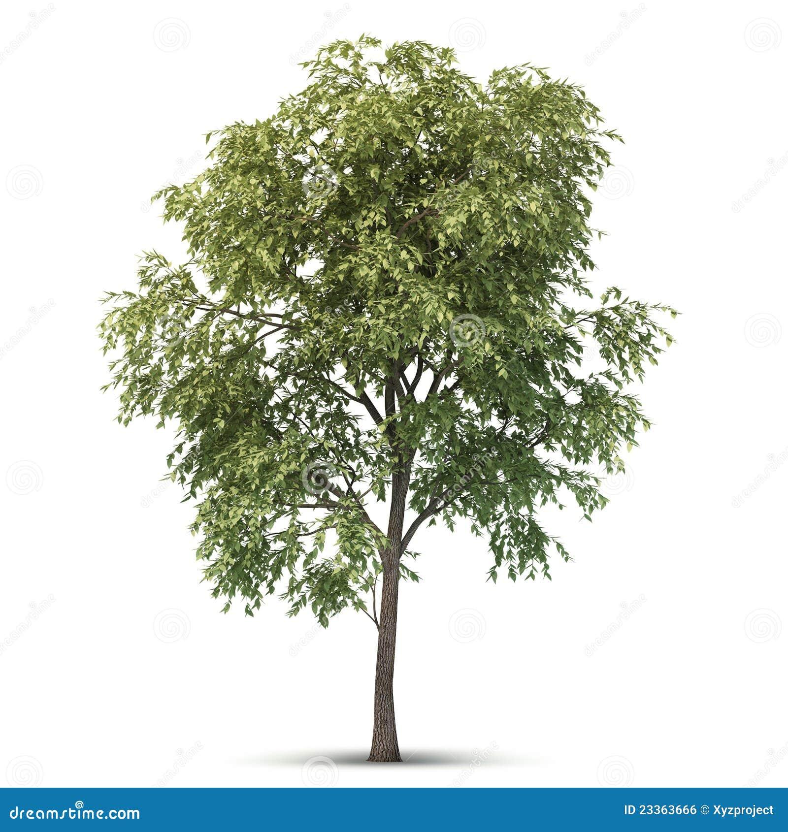 Isolated Tree. Royalty Free Stock Image - Image: 23363666