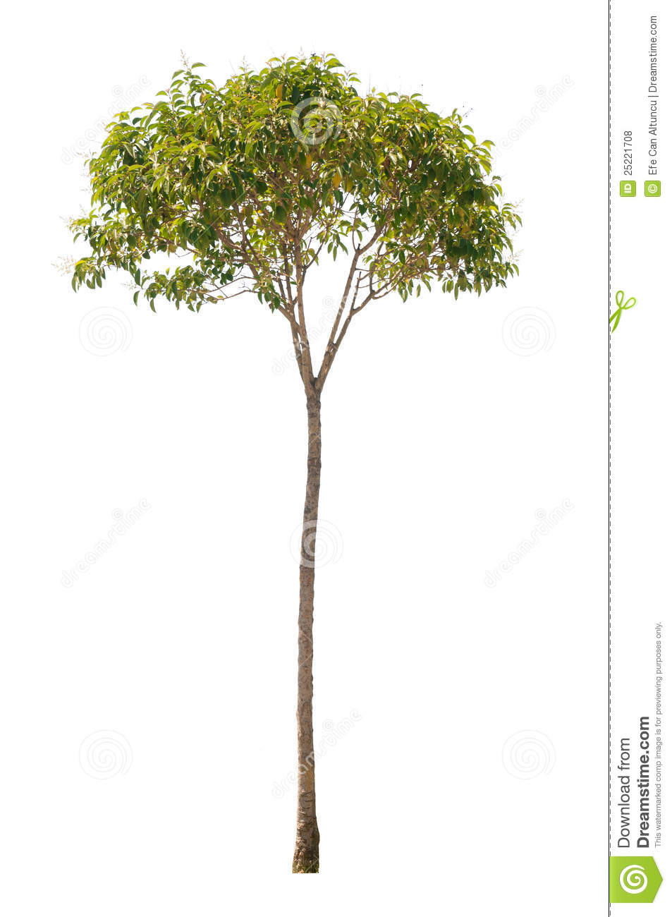 Tall Tree White Background