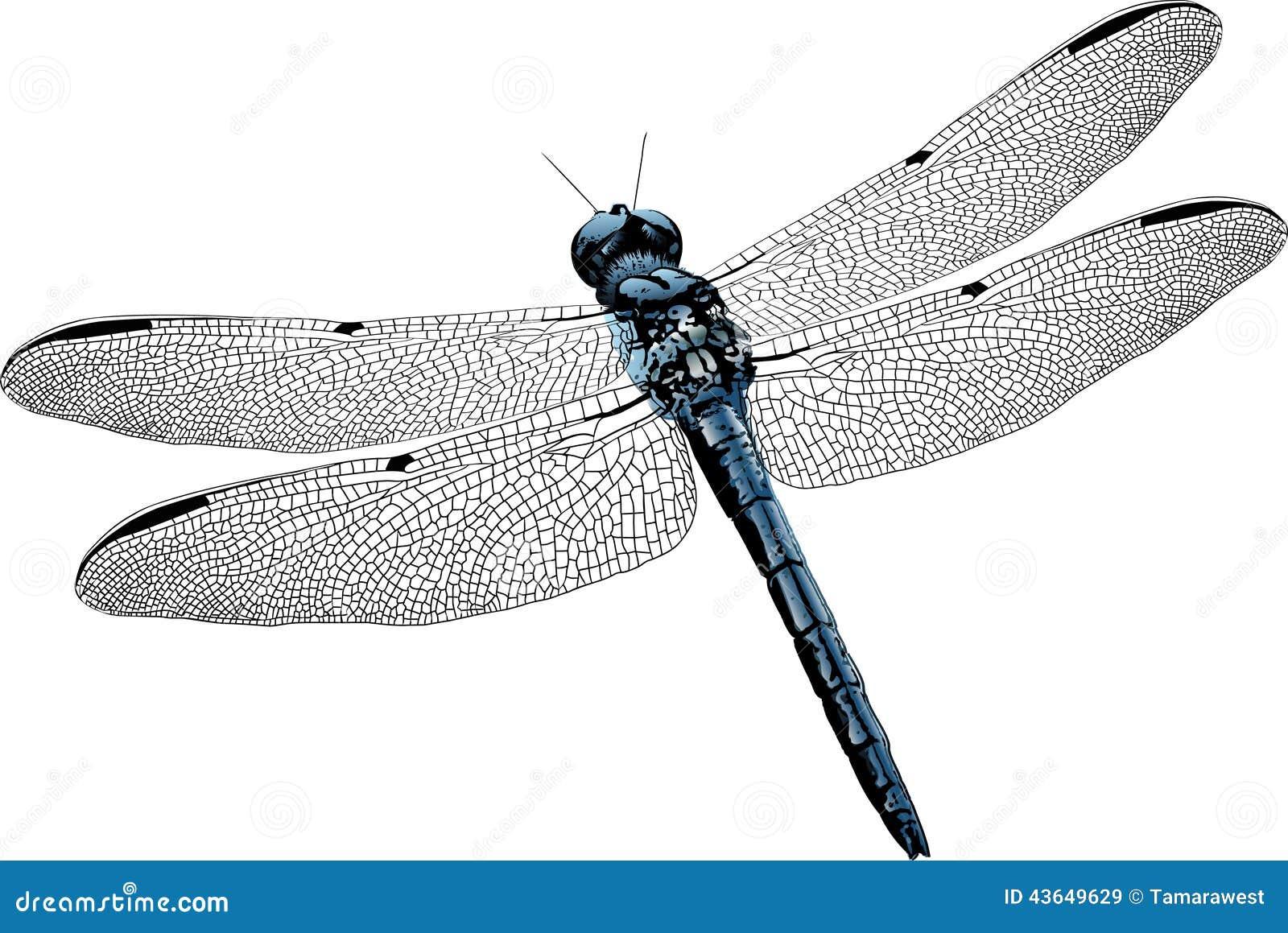 Dragonfly anatomy diagram 4598714 - follow4more.info