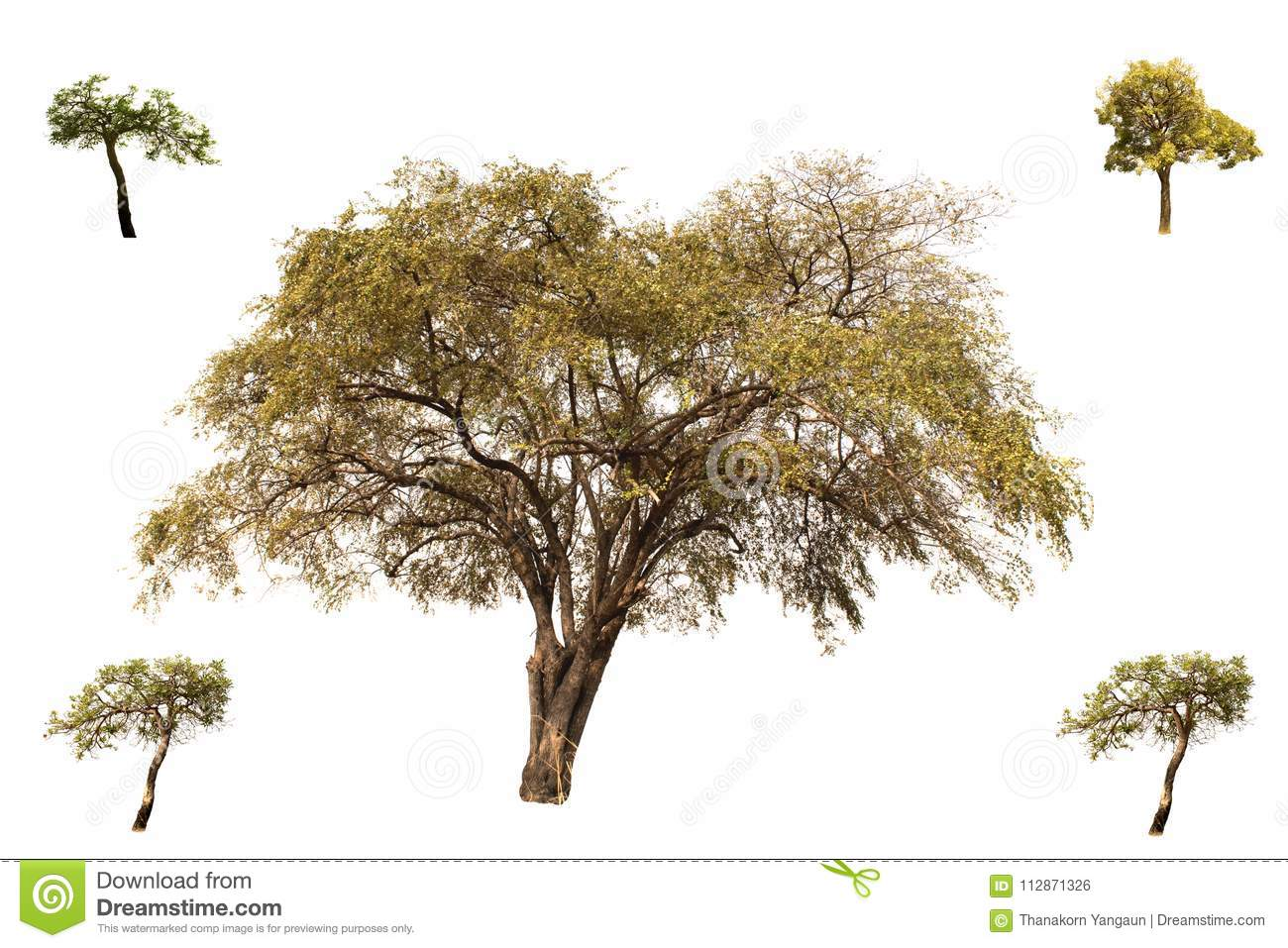 Collection of trees, Indian Jujube and little Tabebuia Aurea trees isolated on white background, look fresh and beautiful.