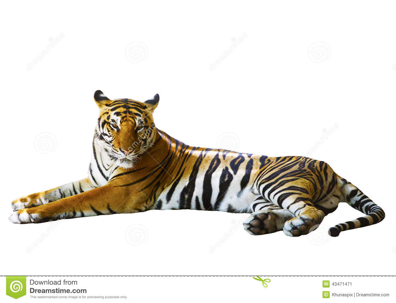 isolated white background of indochinese tiger face lying