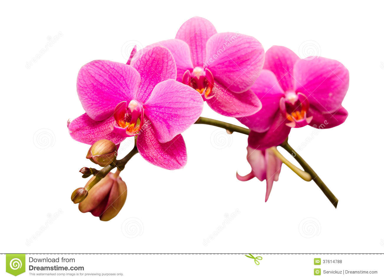 Isolated On White Single Branch Of Purple Orchid Flower Stock Photo