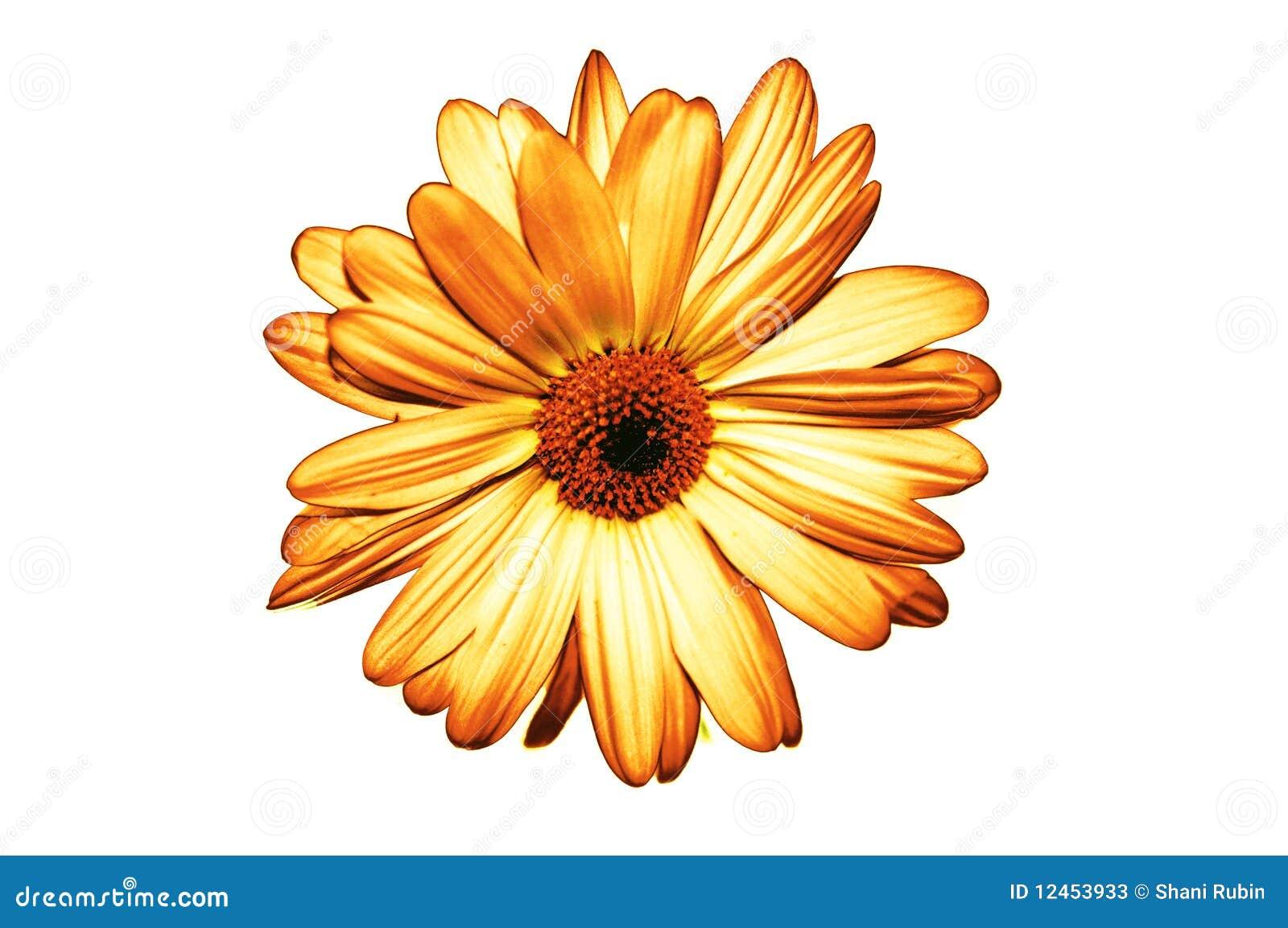 Isolated Yellow Flower On White Background Stock Image Image Of