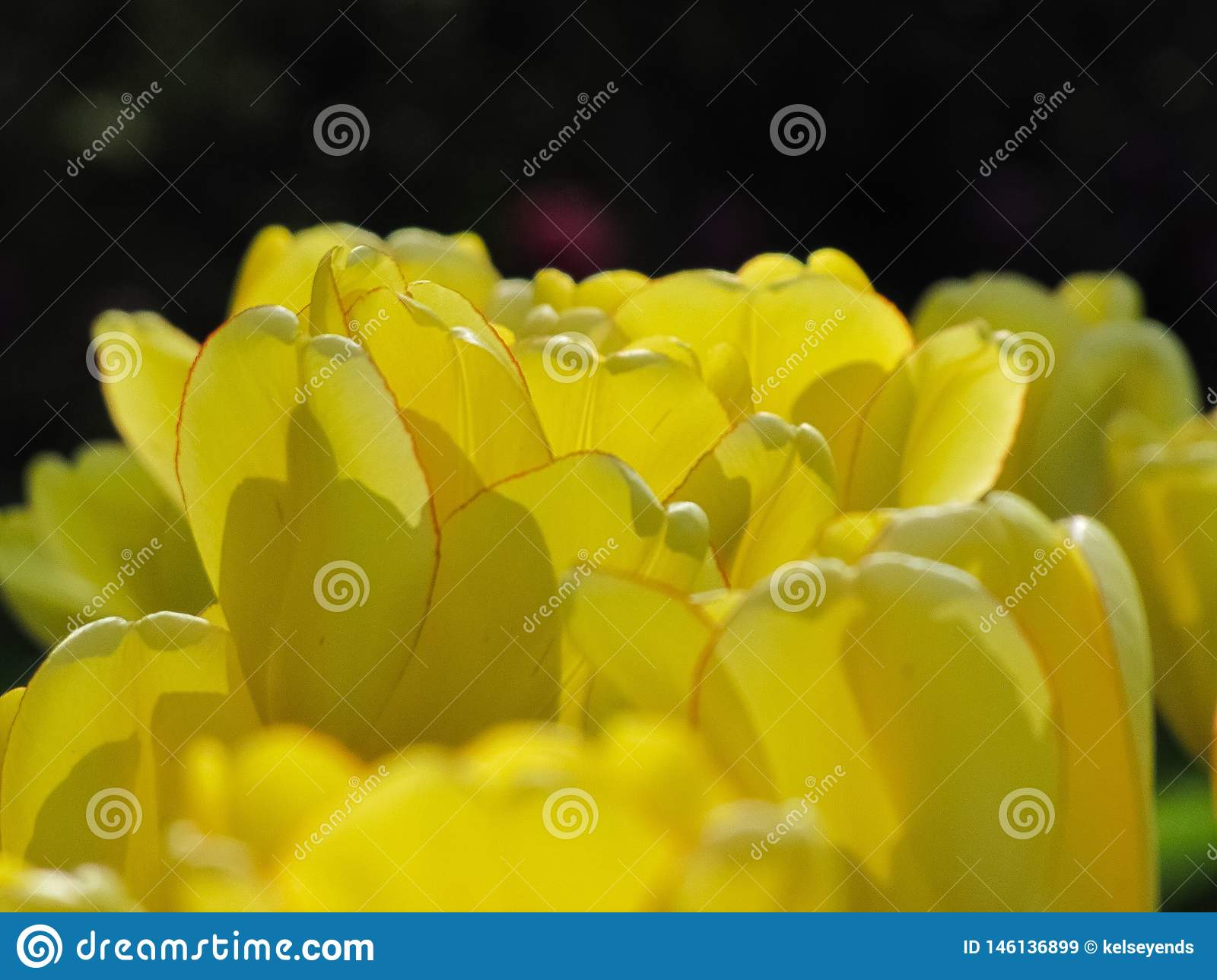Isolated Yellow Tulip with Red Rim