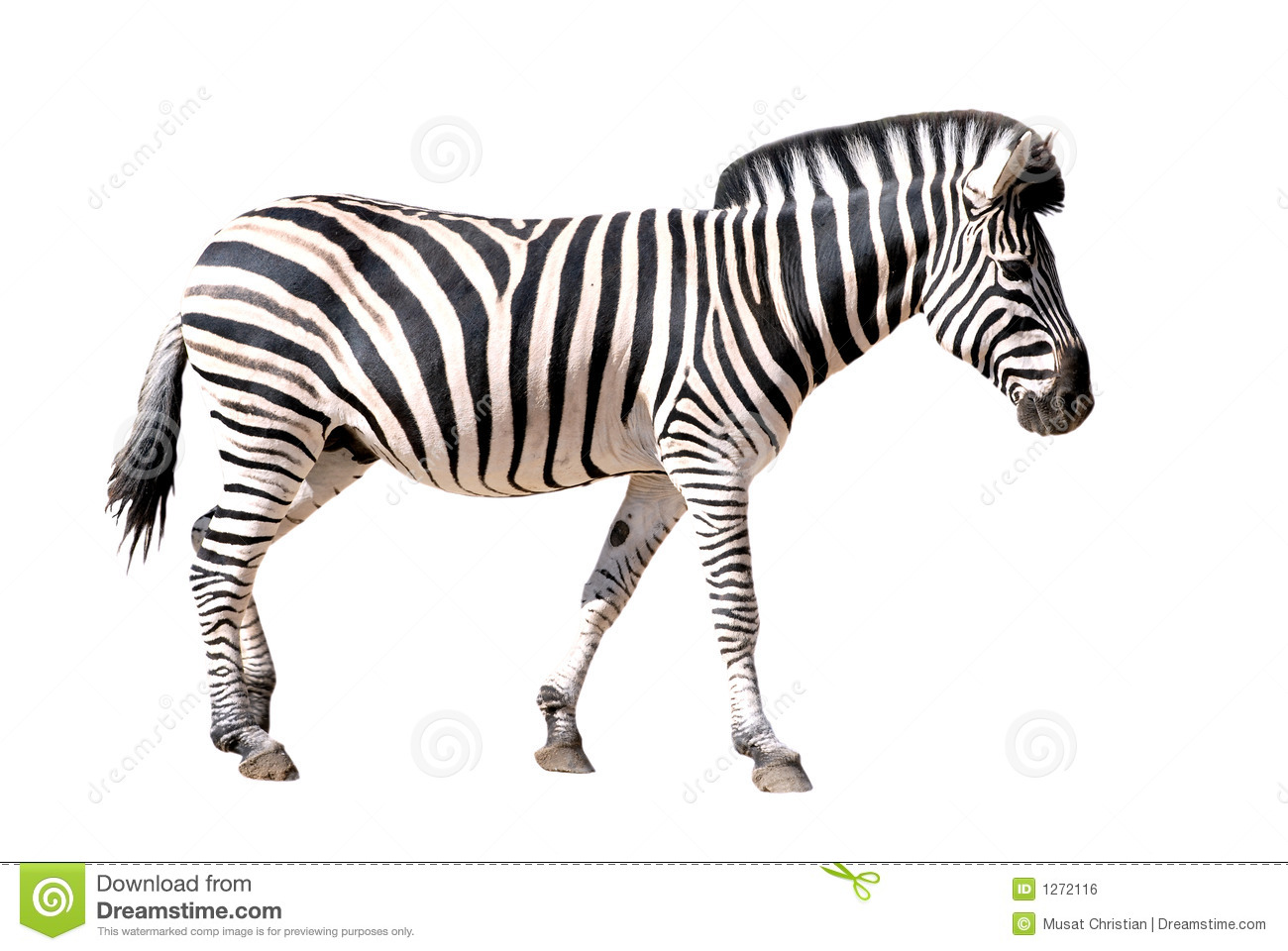 Isolated Zebra Royalty Free Stock Image - Image: 1272116