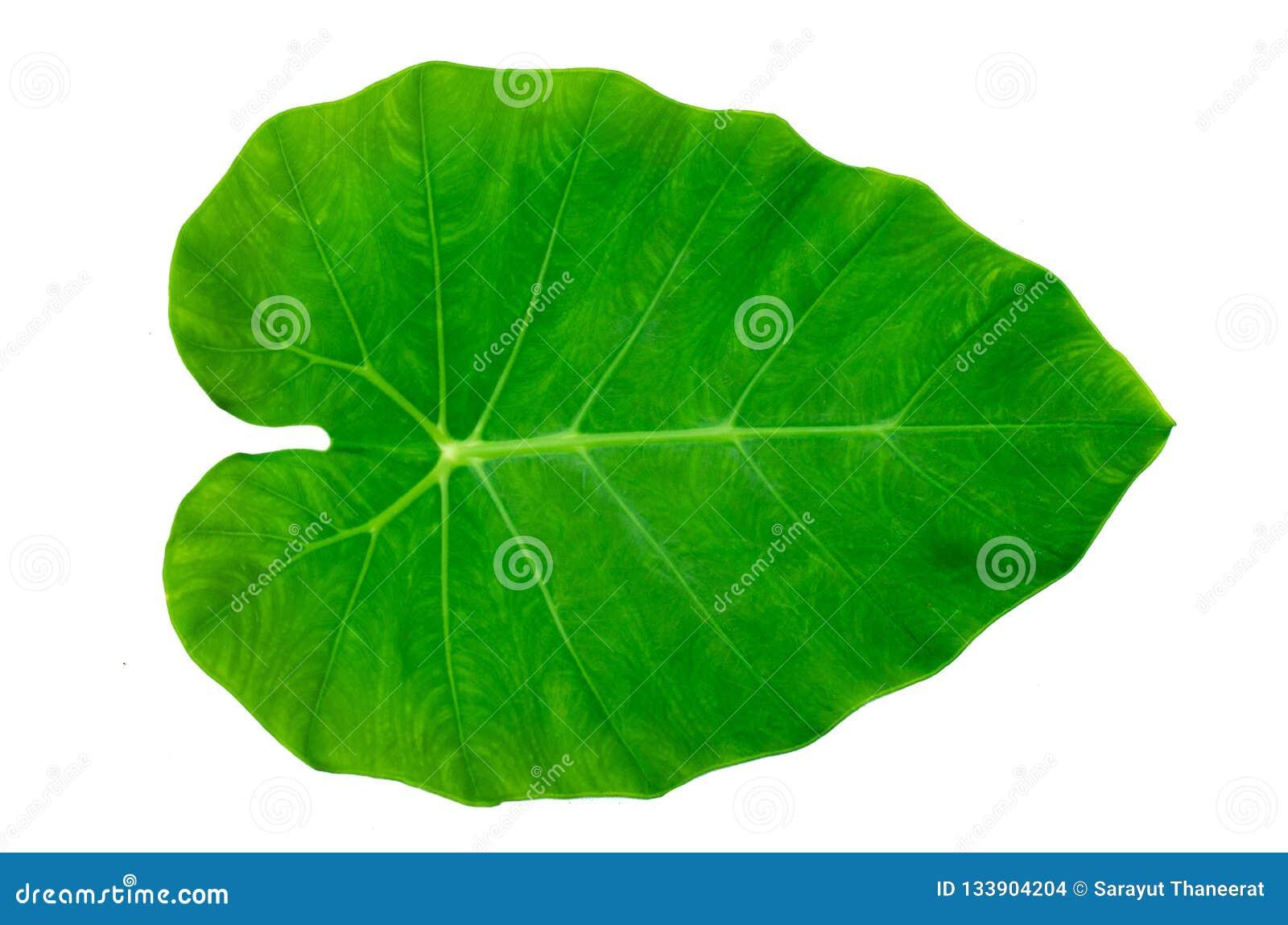 Isolato bianco del fondo della banda del perno di ornata di Calathea delle foglie