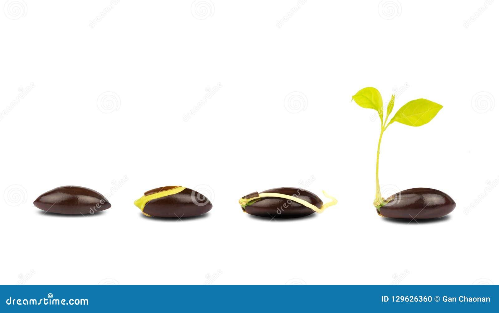 Isolato trattato di germinazione dei semi su fondo bianco