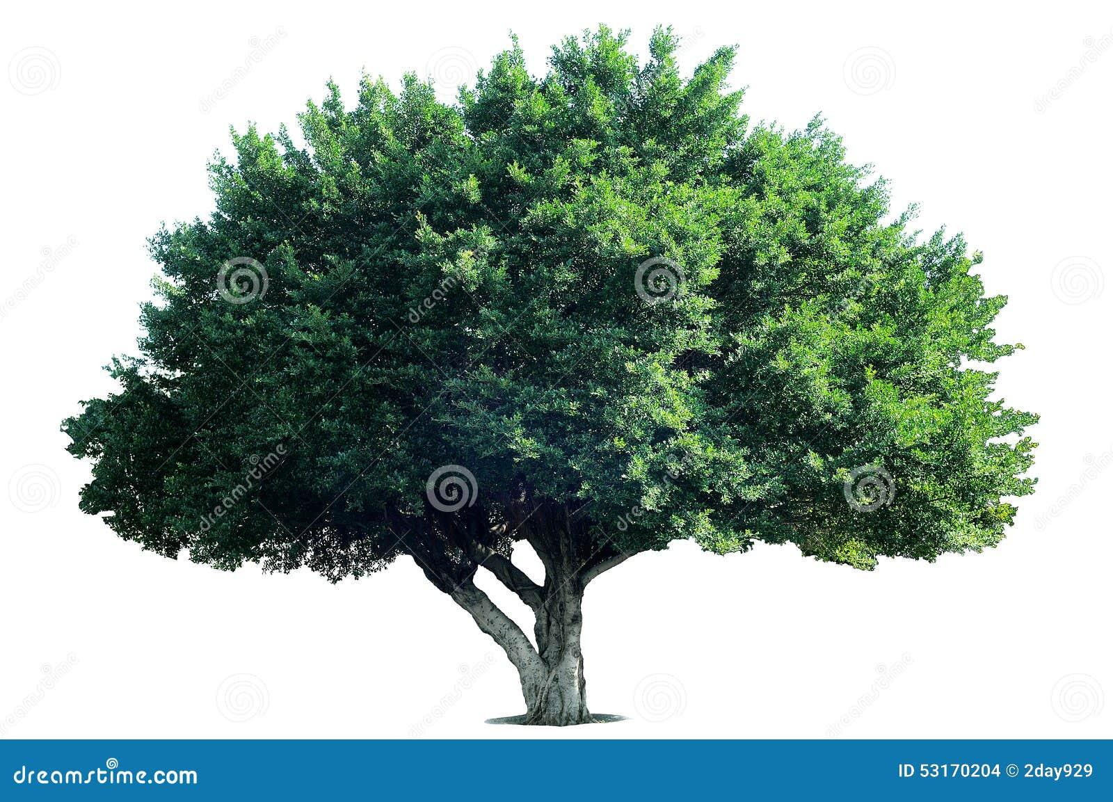 Isolatträd