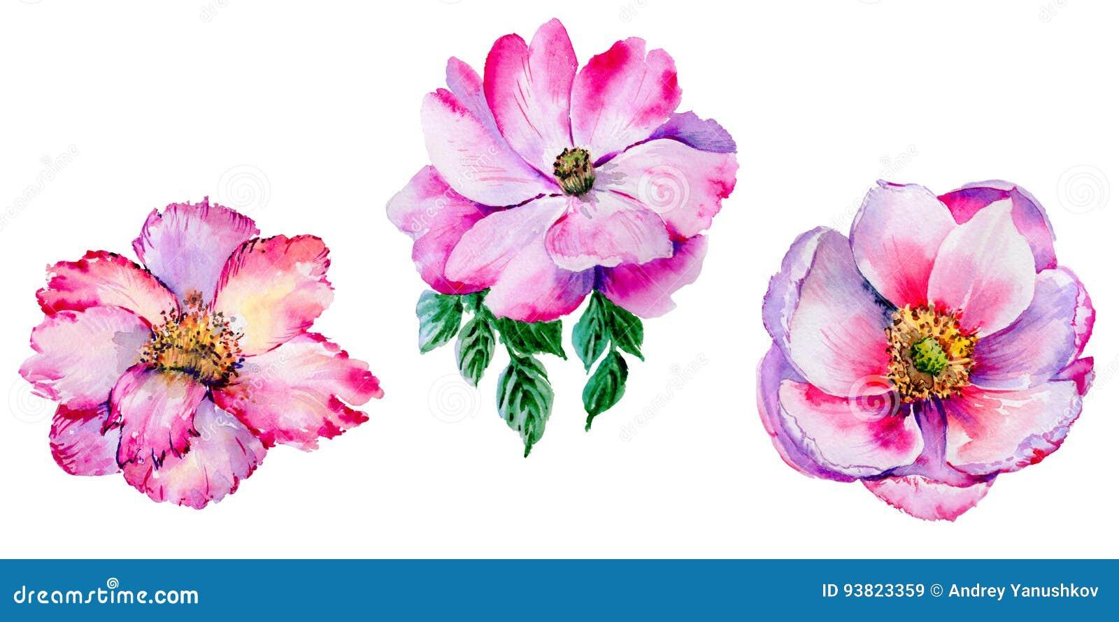 Isolerad blomma för vildblommateros i en vattenfärgstil