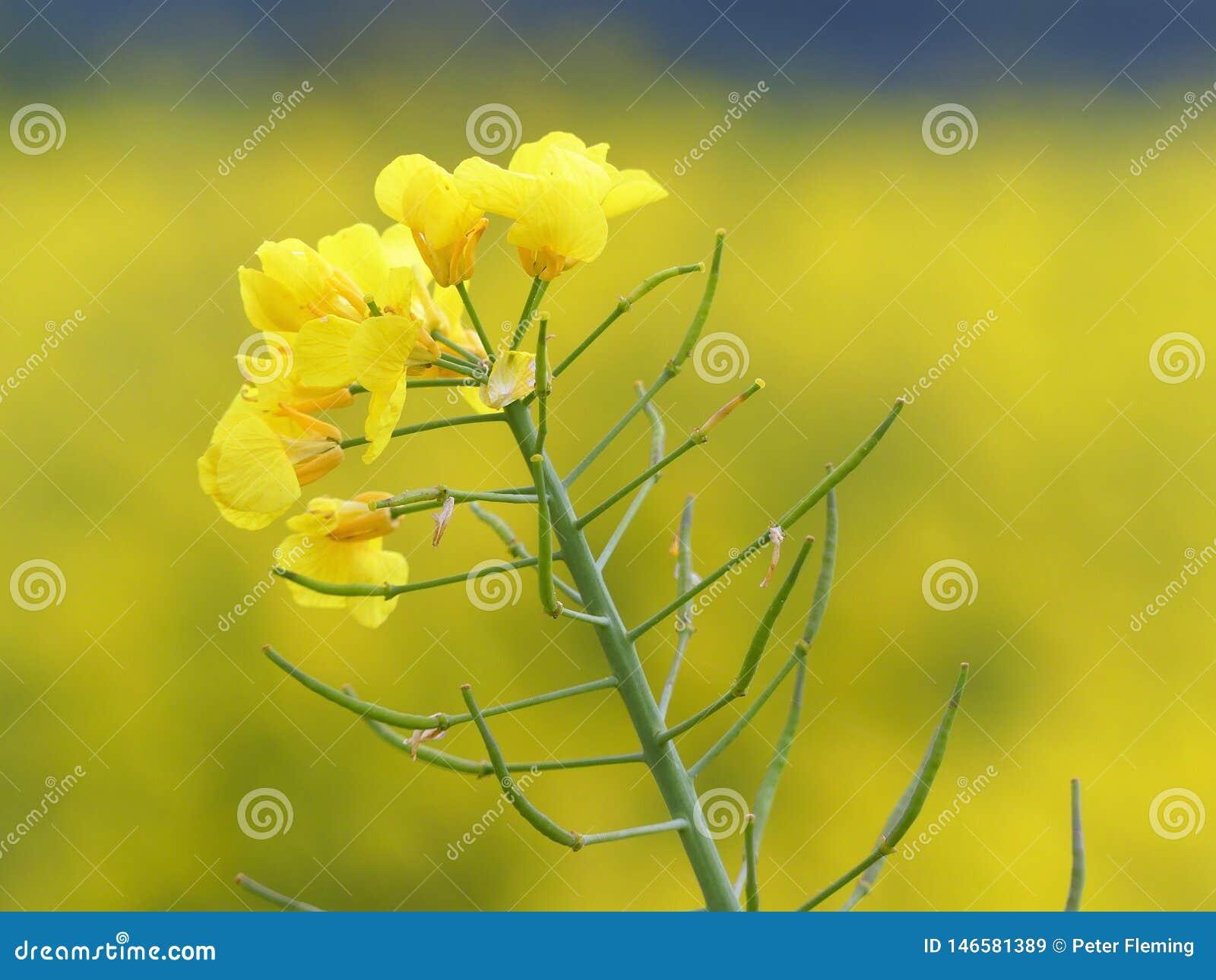 Isolerad gul rapsfr?blomma med f?ltet i bakgrund