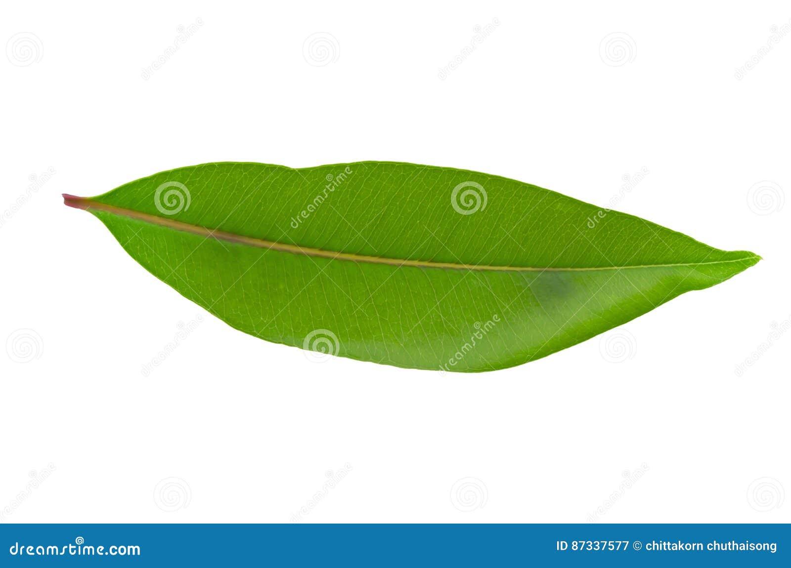 Isolerad leafwhite för bakgrund green
