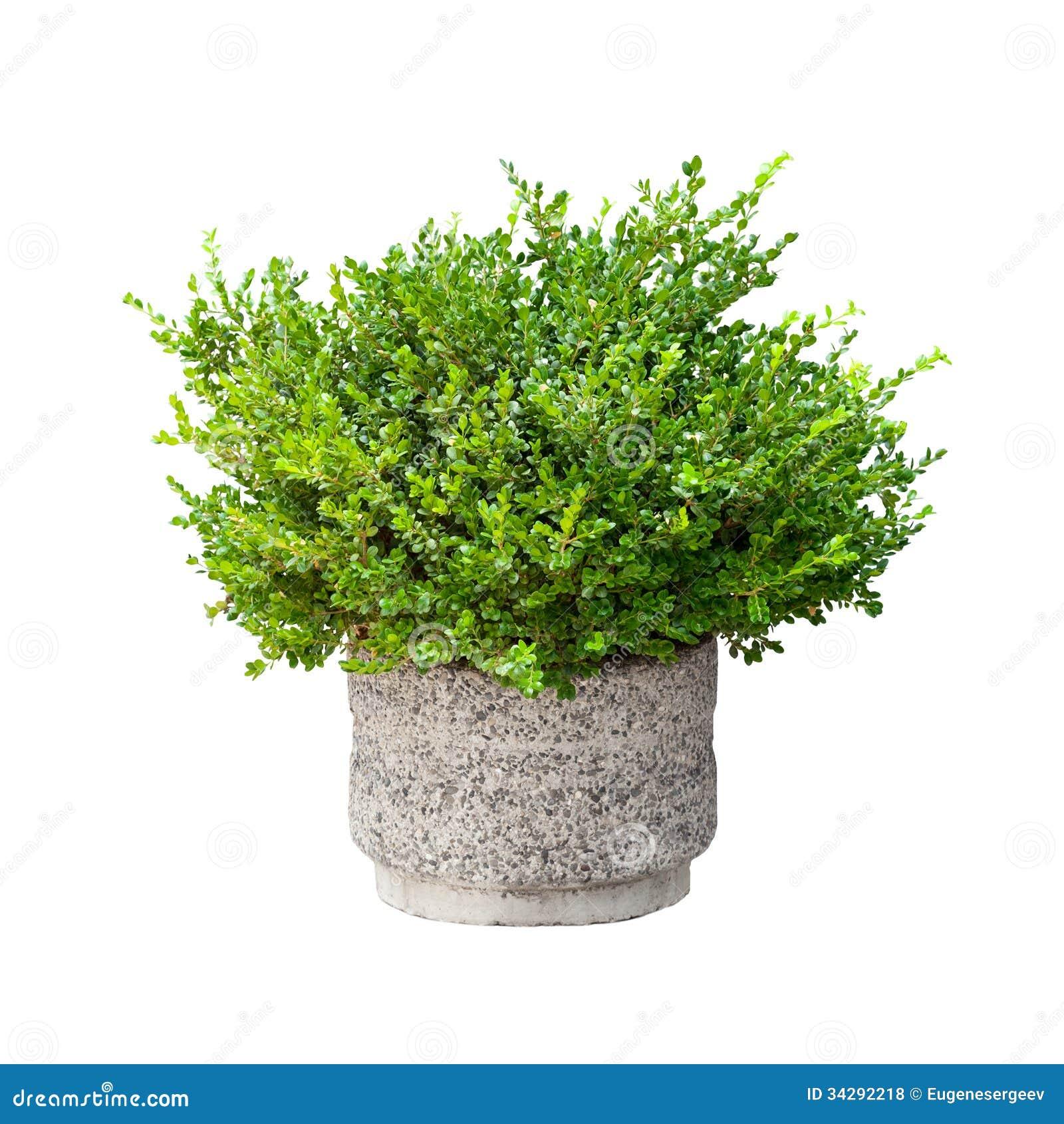 Isolerad liten grön dekorativ buske