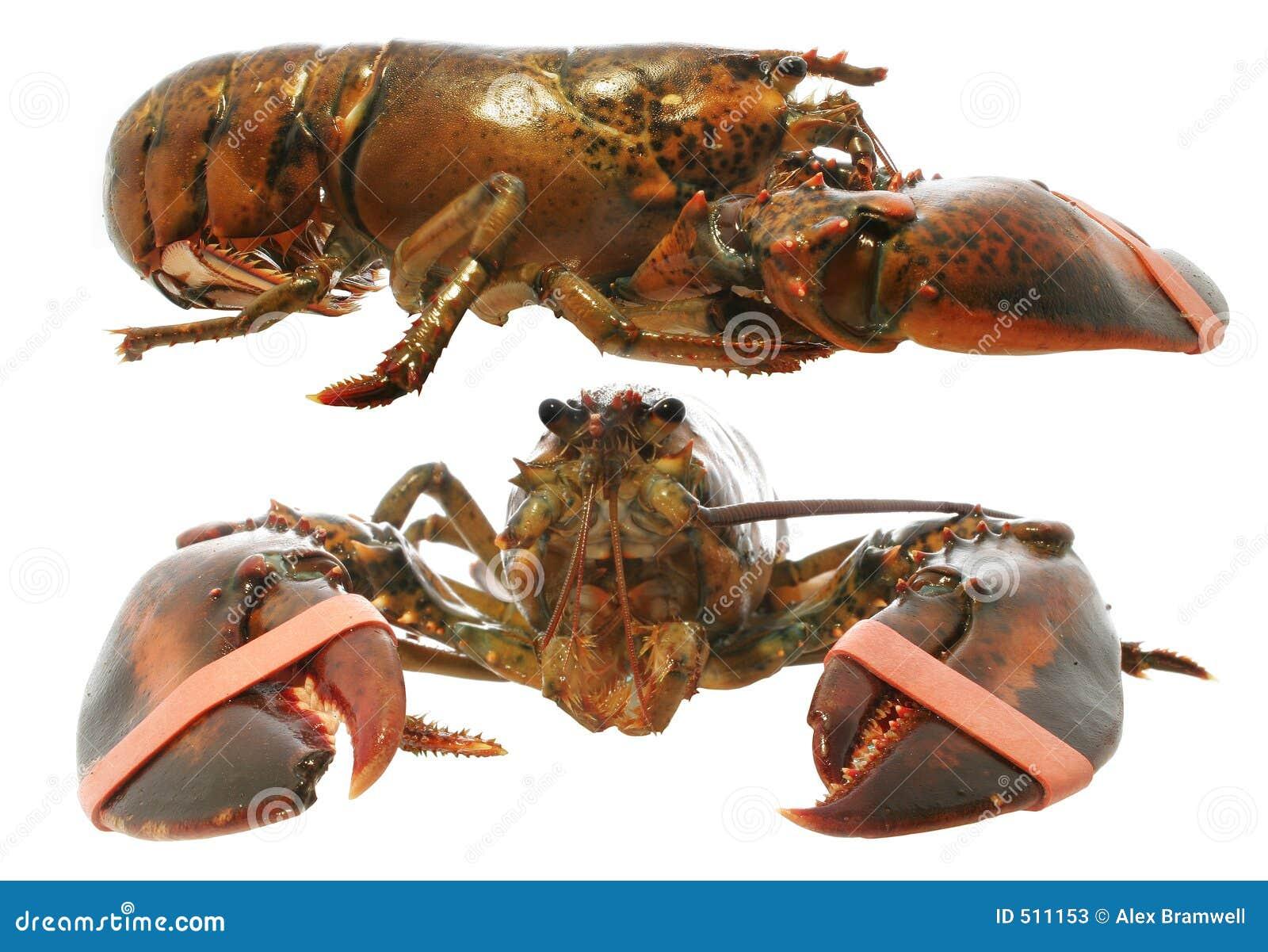 Isolerad live hummer