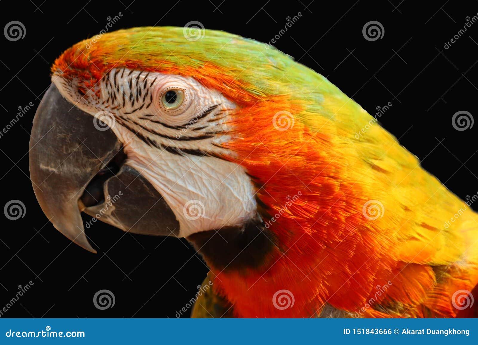 Isolerad macawpapegoja