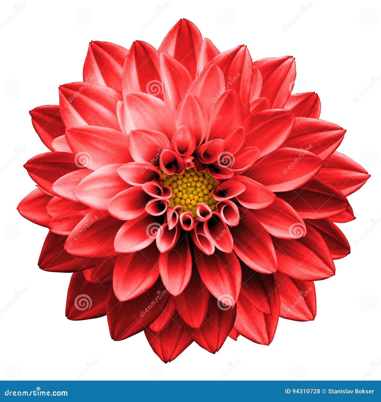 Isolerad overklig mörk för blommadahlia för krom röd makro
