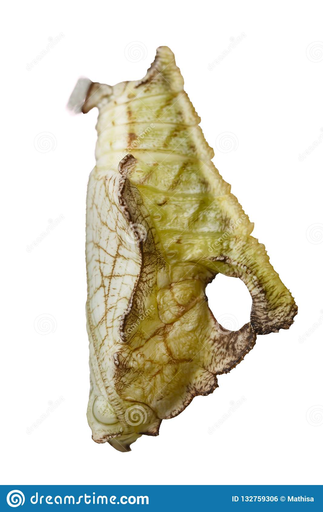 Isolerad puppa av strimmig kattfjärilsPseudergolis wedah på w