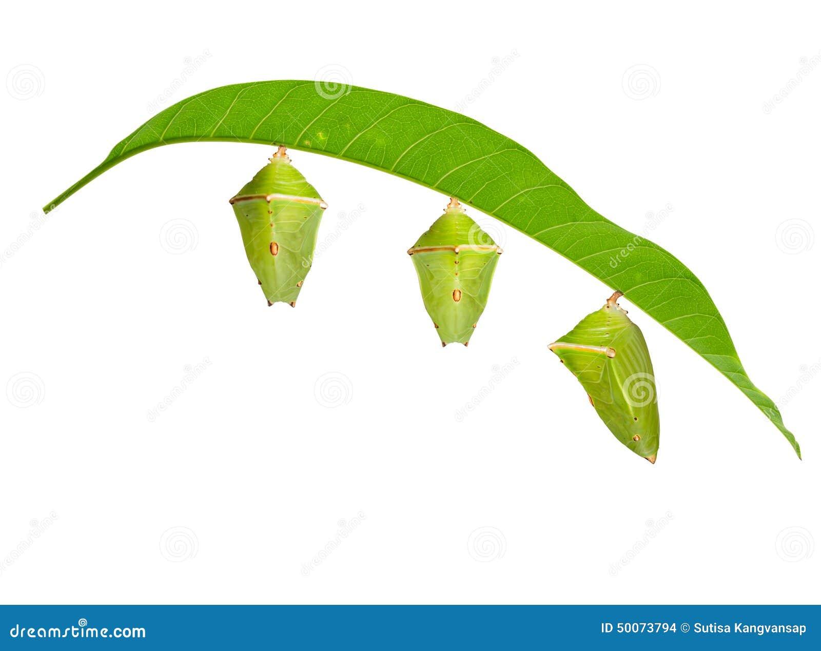 Isolerad puppa med bladet av mangobaronfjärilen på vit