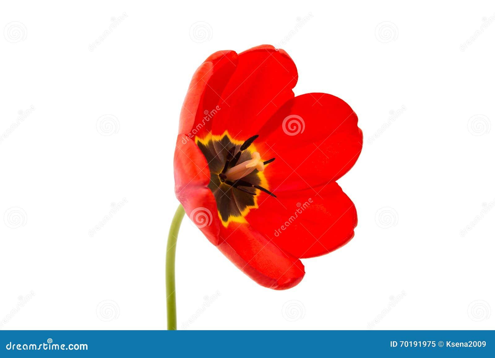 Isolerad röd tulpan