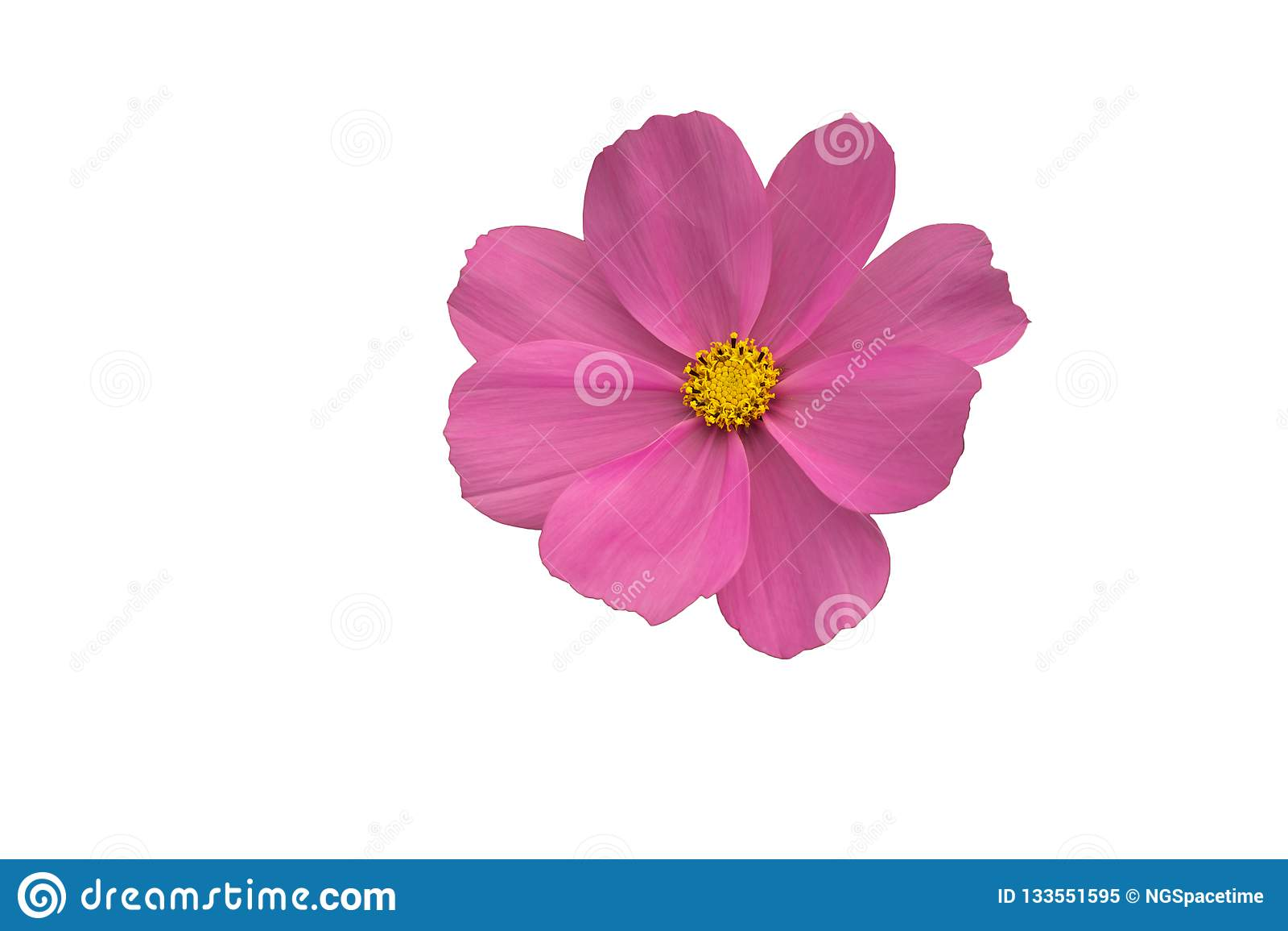 Isolerad rosa kosmosblomma med en gul mitt