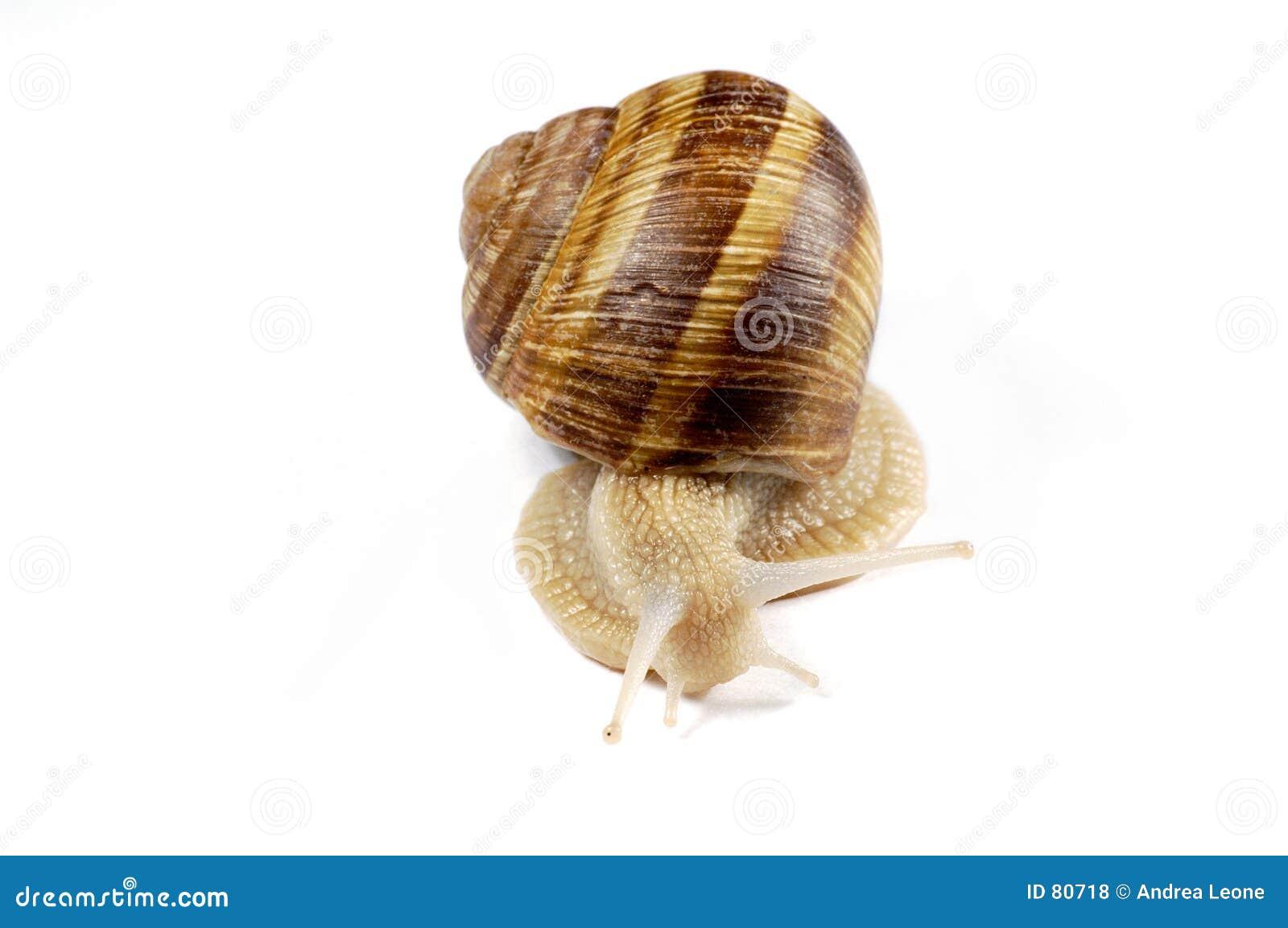 Isolerad snail