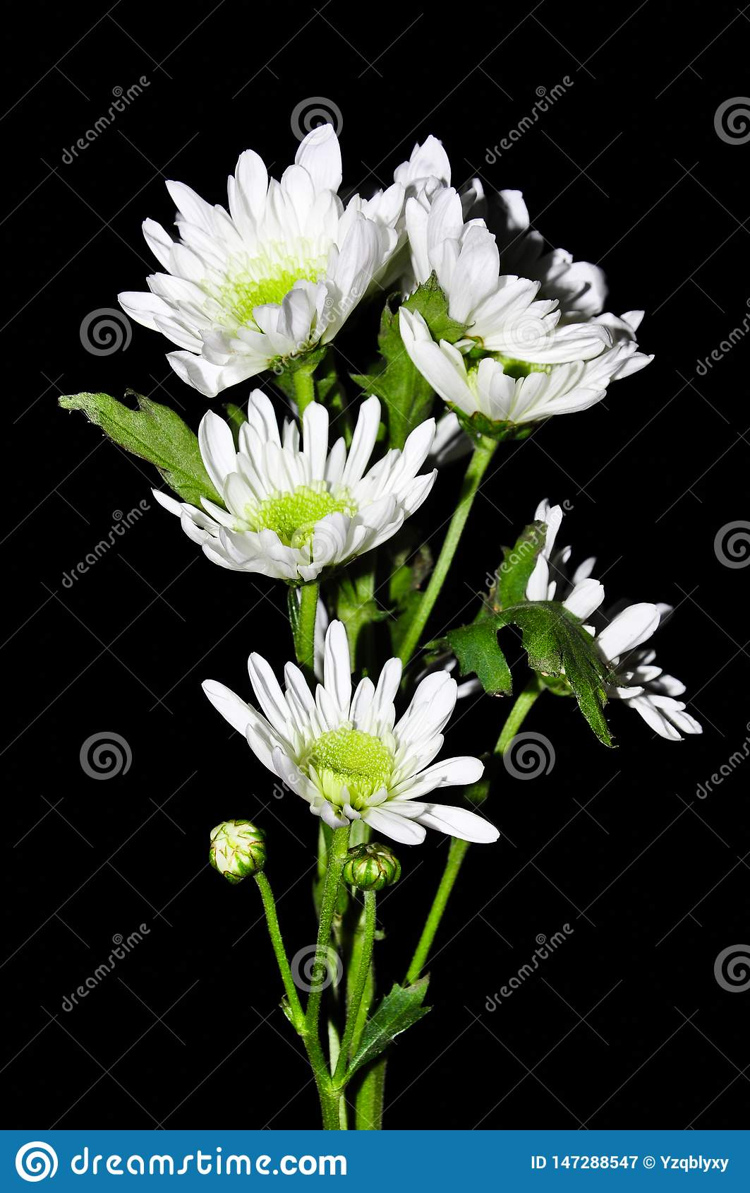 Isolerad svart bakgrund f?r vit blomma