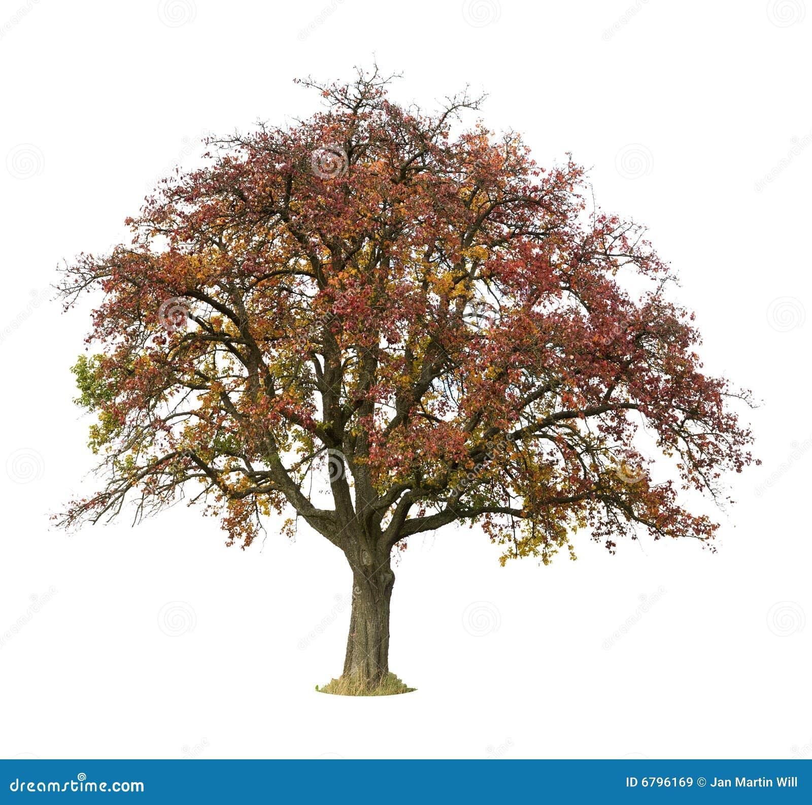 Isolerad tree för äpple höst