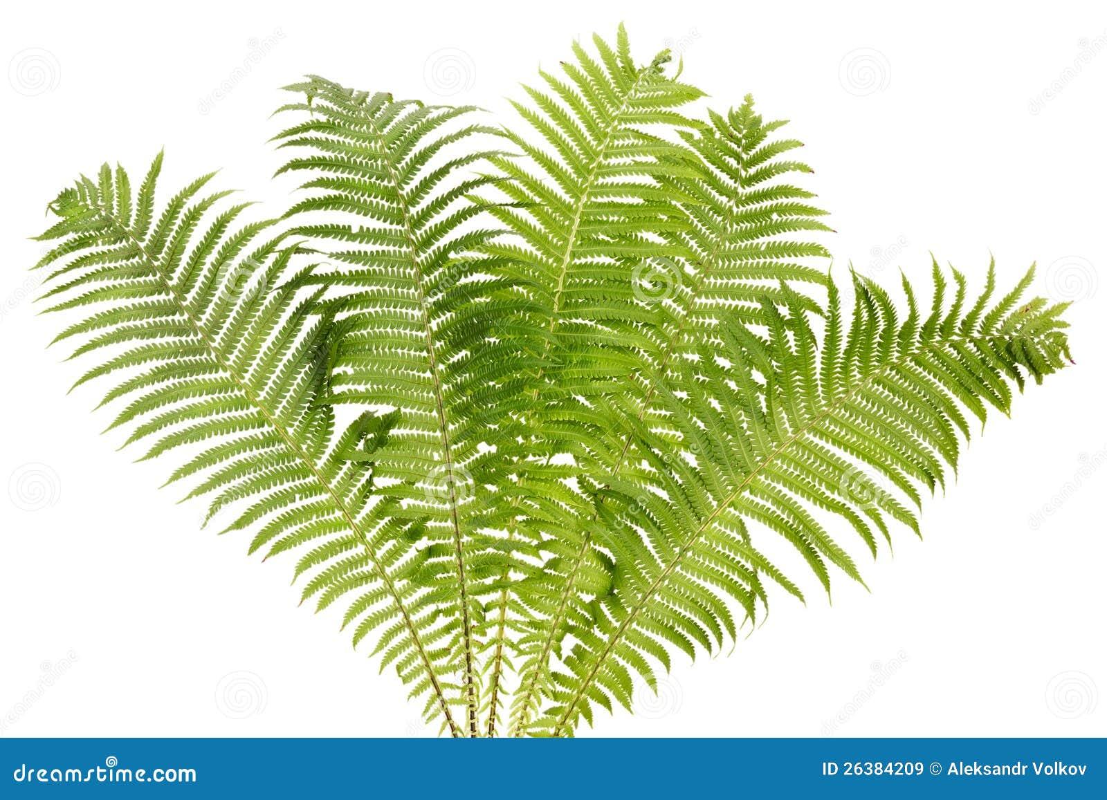 Isolerad verklig buske för Fern