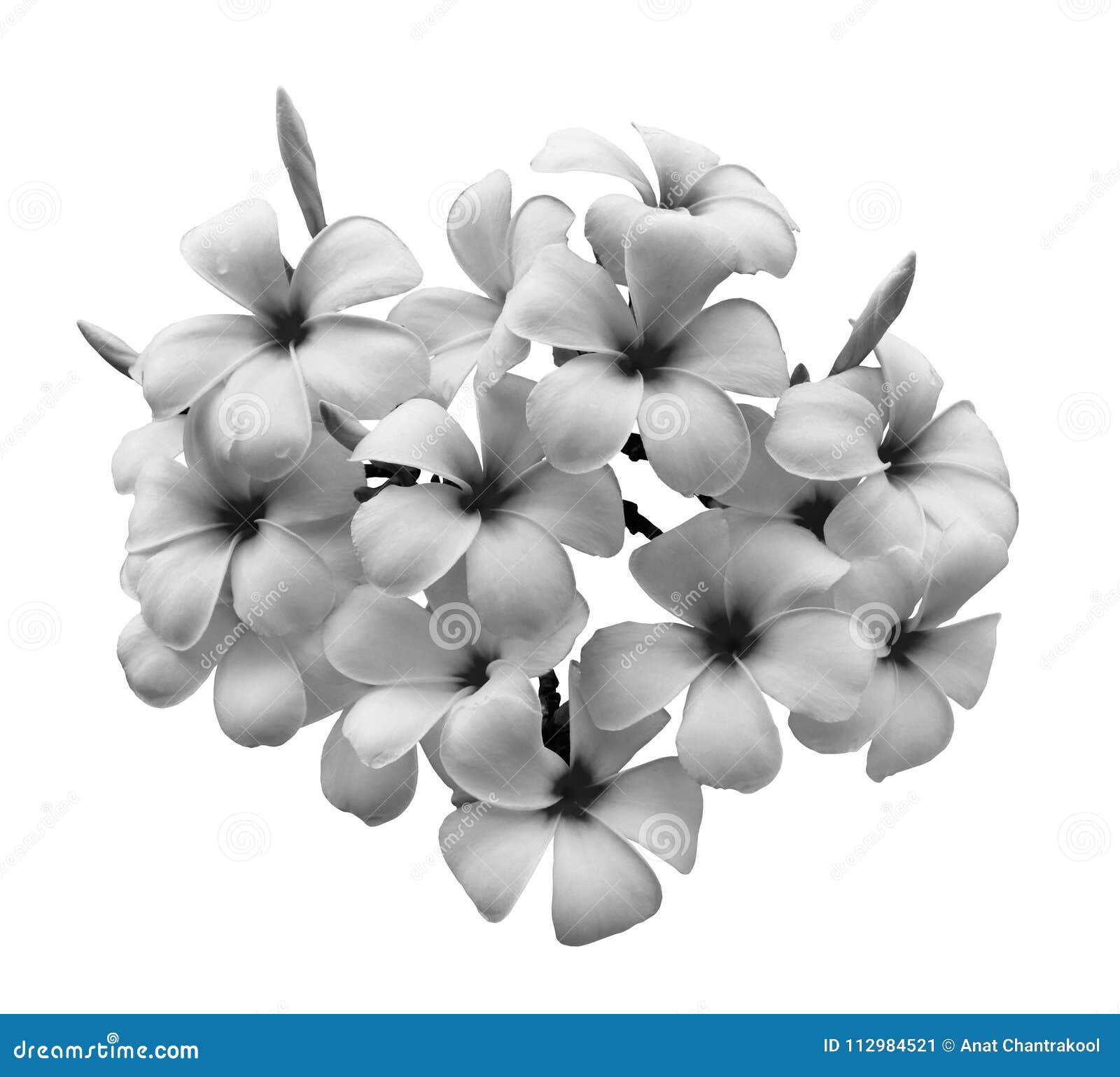 Isolerad white för blomma frangipani