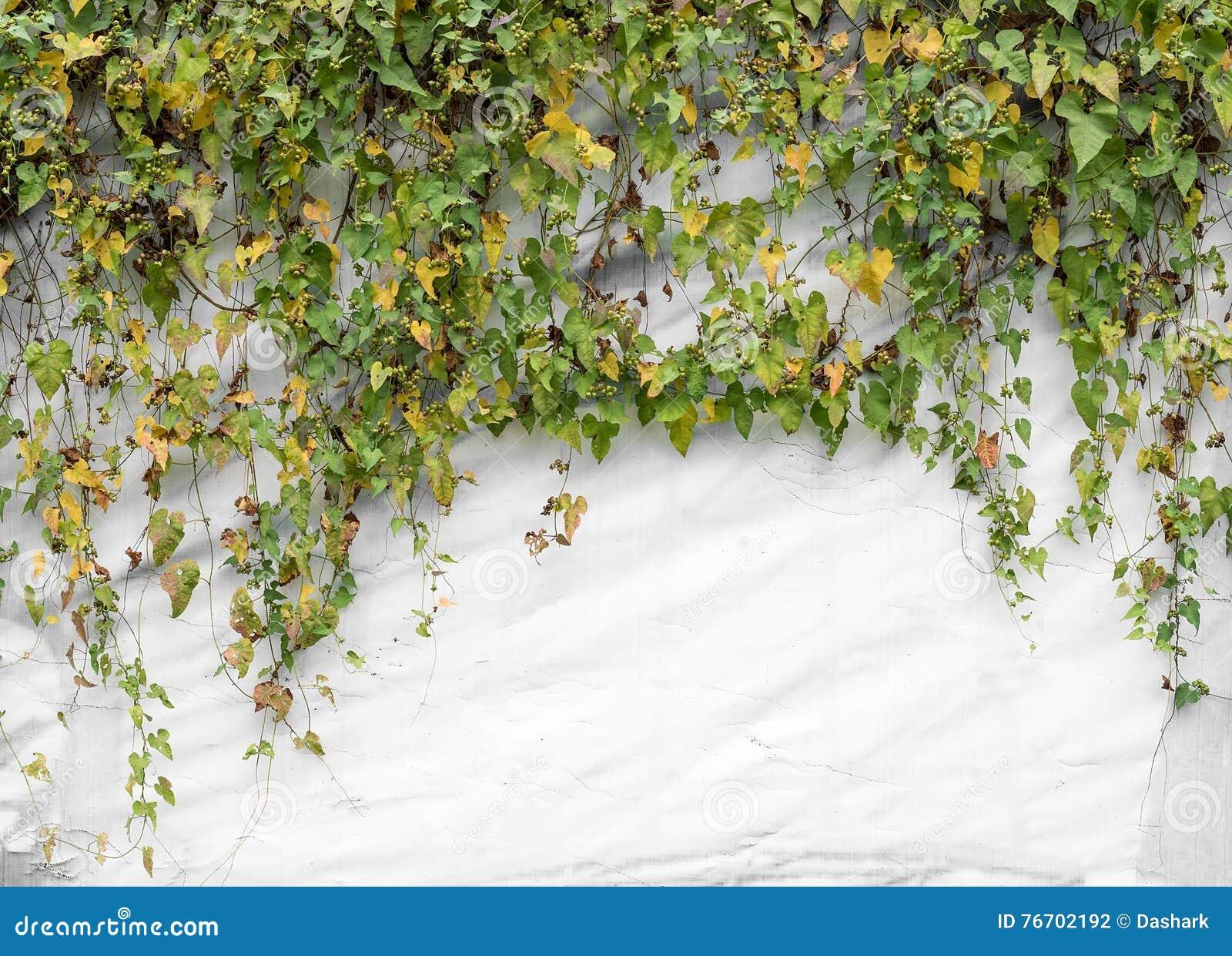Isolerade murgrönaleaves