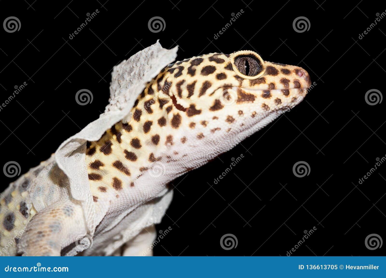 Isolerat skott av leopardgeckon som utgjuter hud