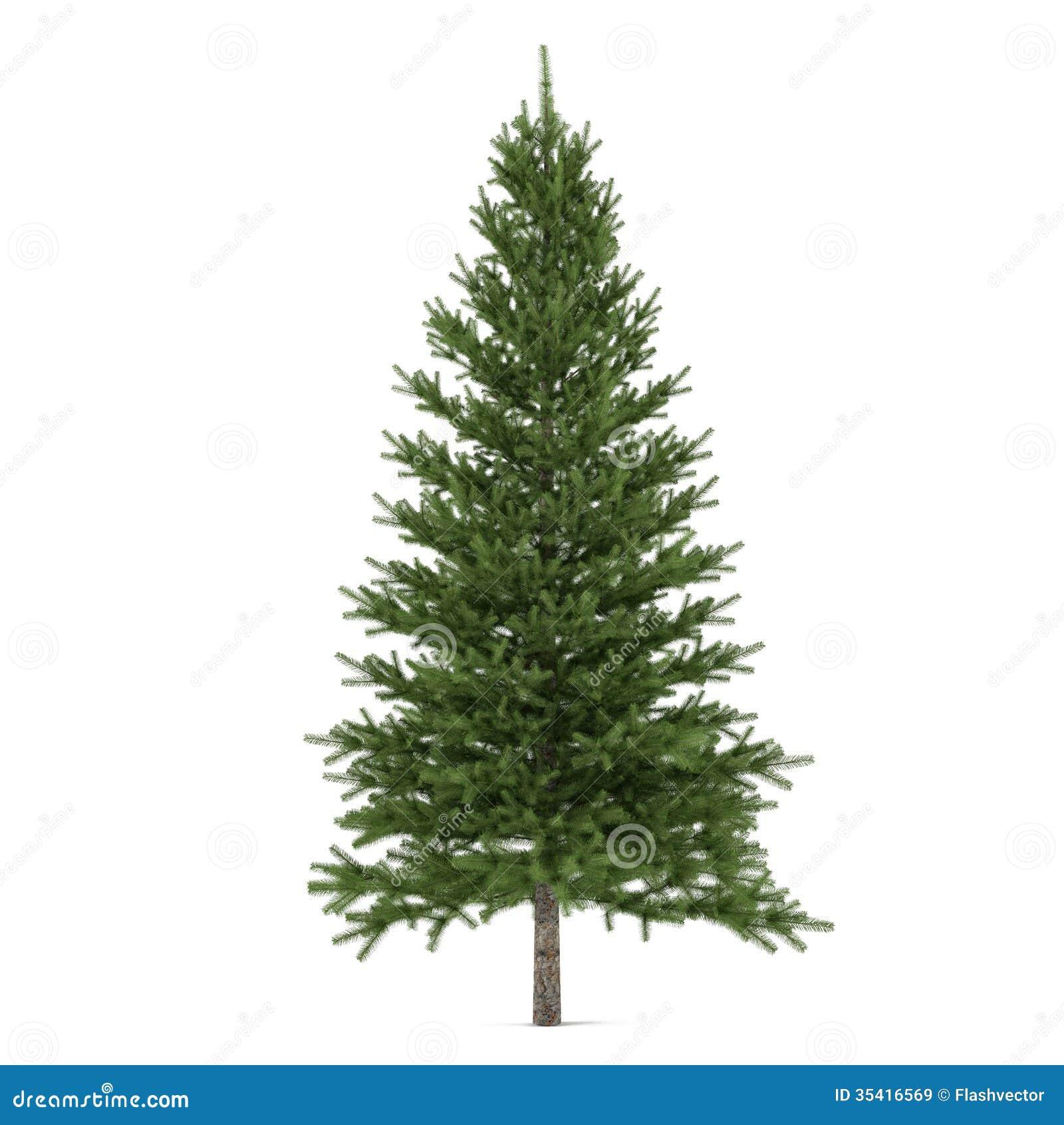 Isolerat träd. Pinusgran-träd