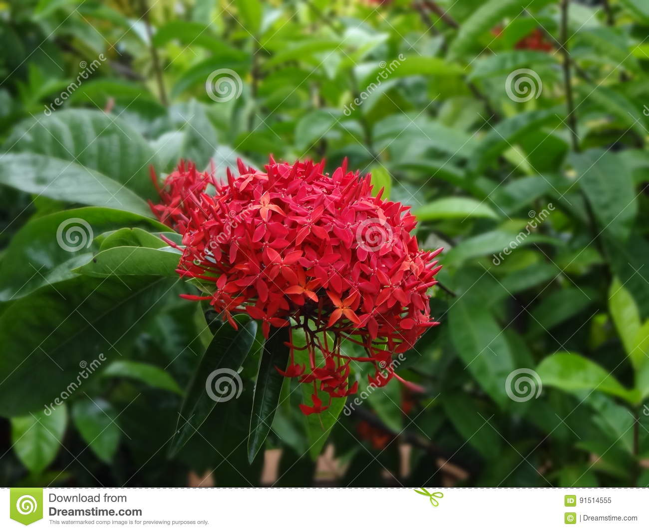 ISORA FLOWER stock image. Image of colored, foliage, isora - 91514555