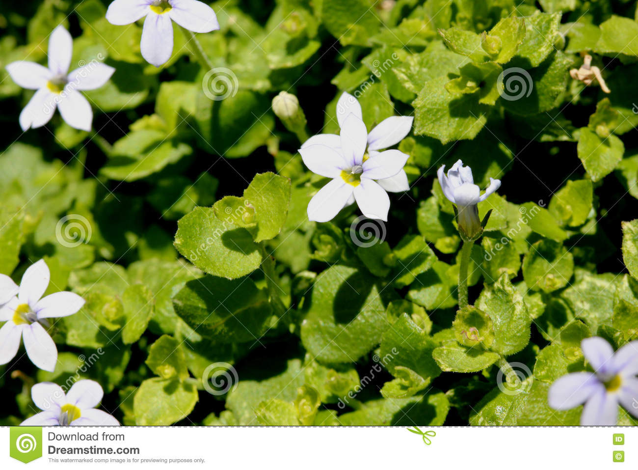 Isotoma Fluviatilis Blue Star Creeper Stock Image Image Of