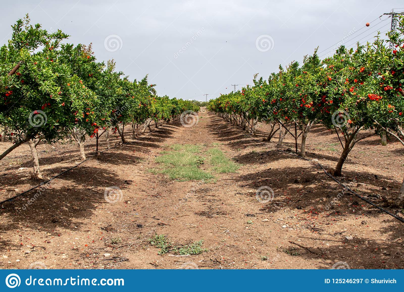 Israel pomegranates fields