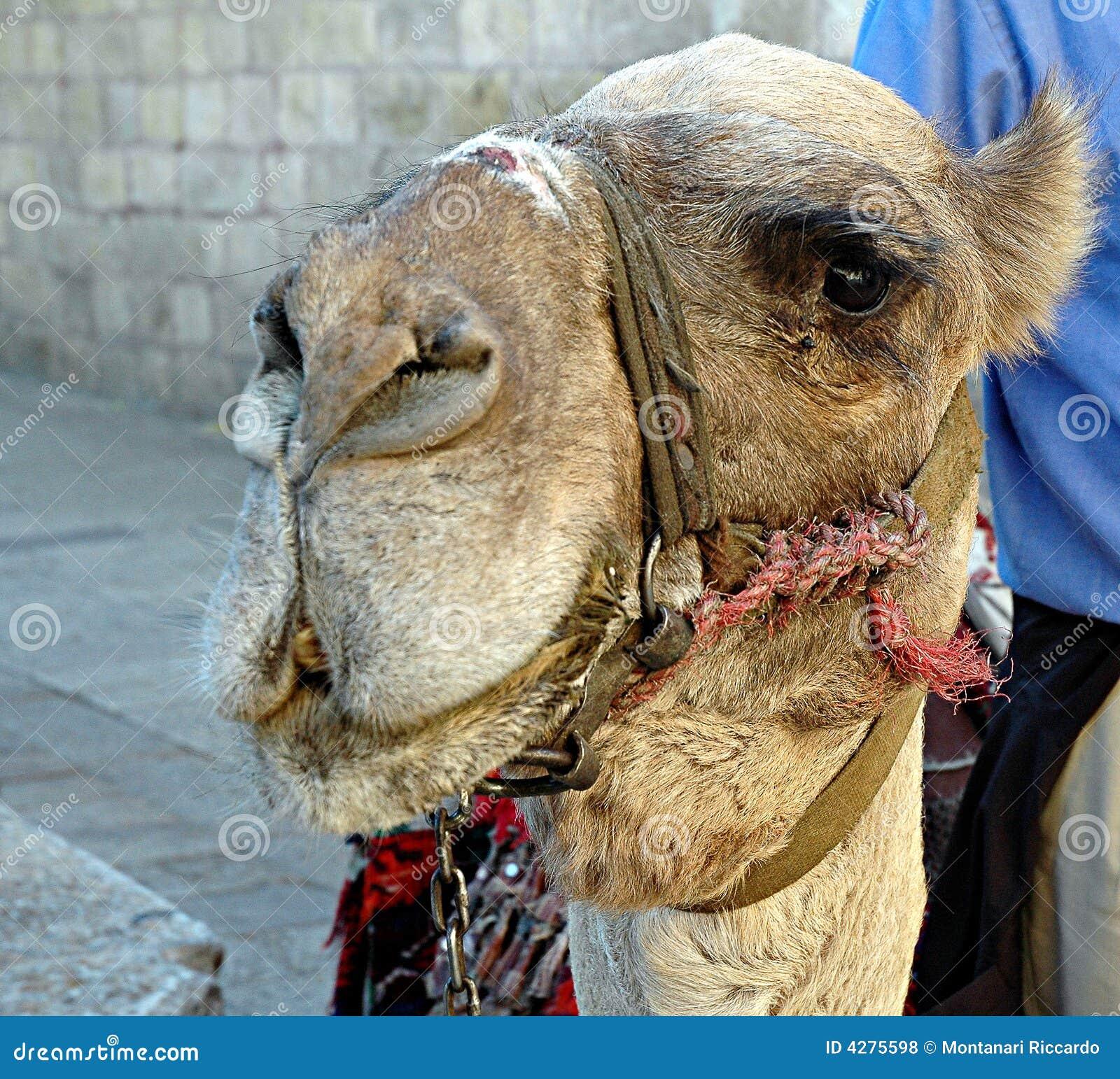 Israelian_Camel