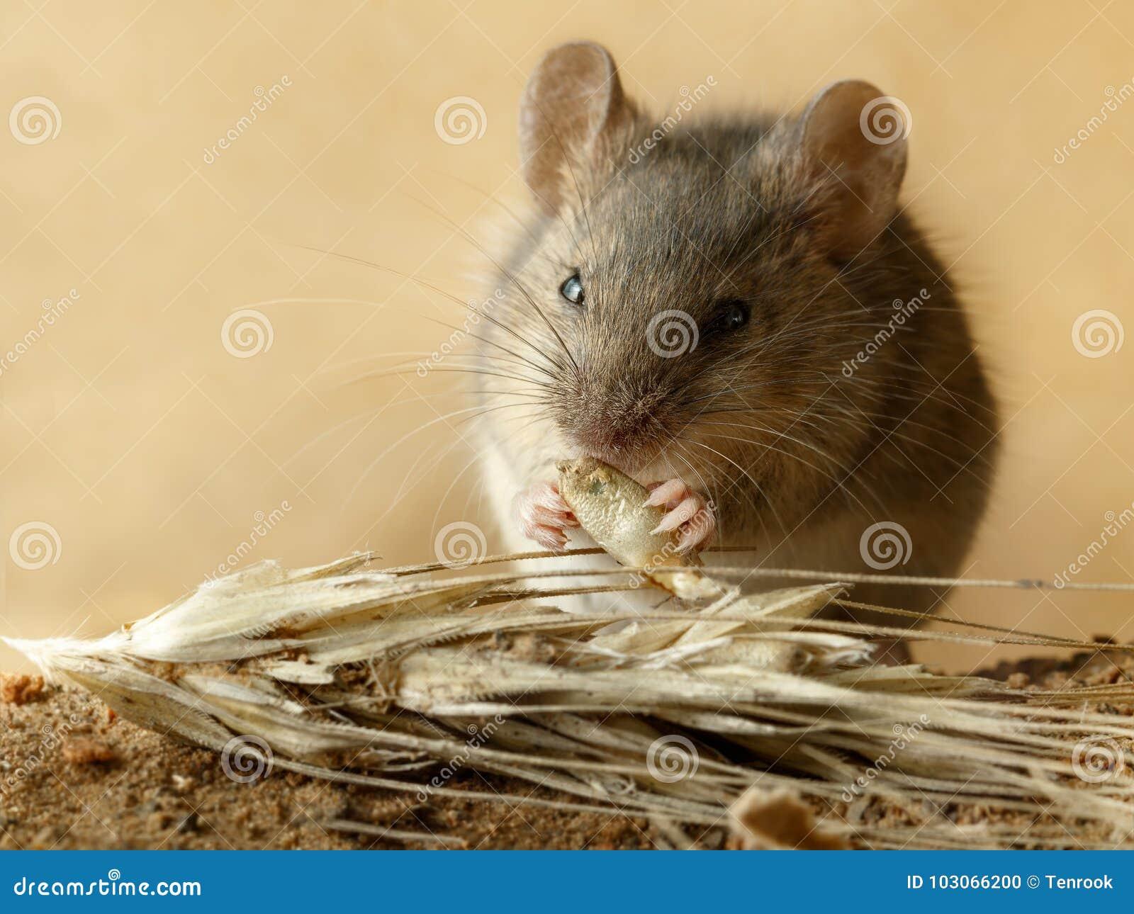 Isst kleine Wühlmausmaus der Nahaufnahme Korn des Roggens nahe Ährchen des Roggens auf dem Feld