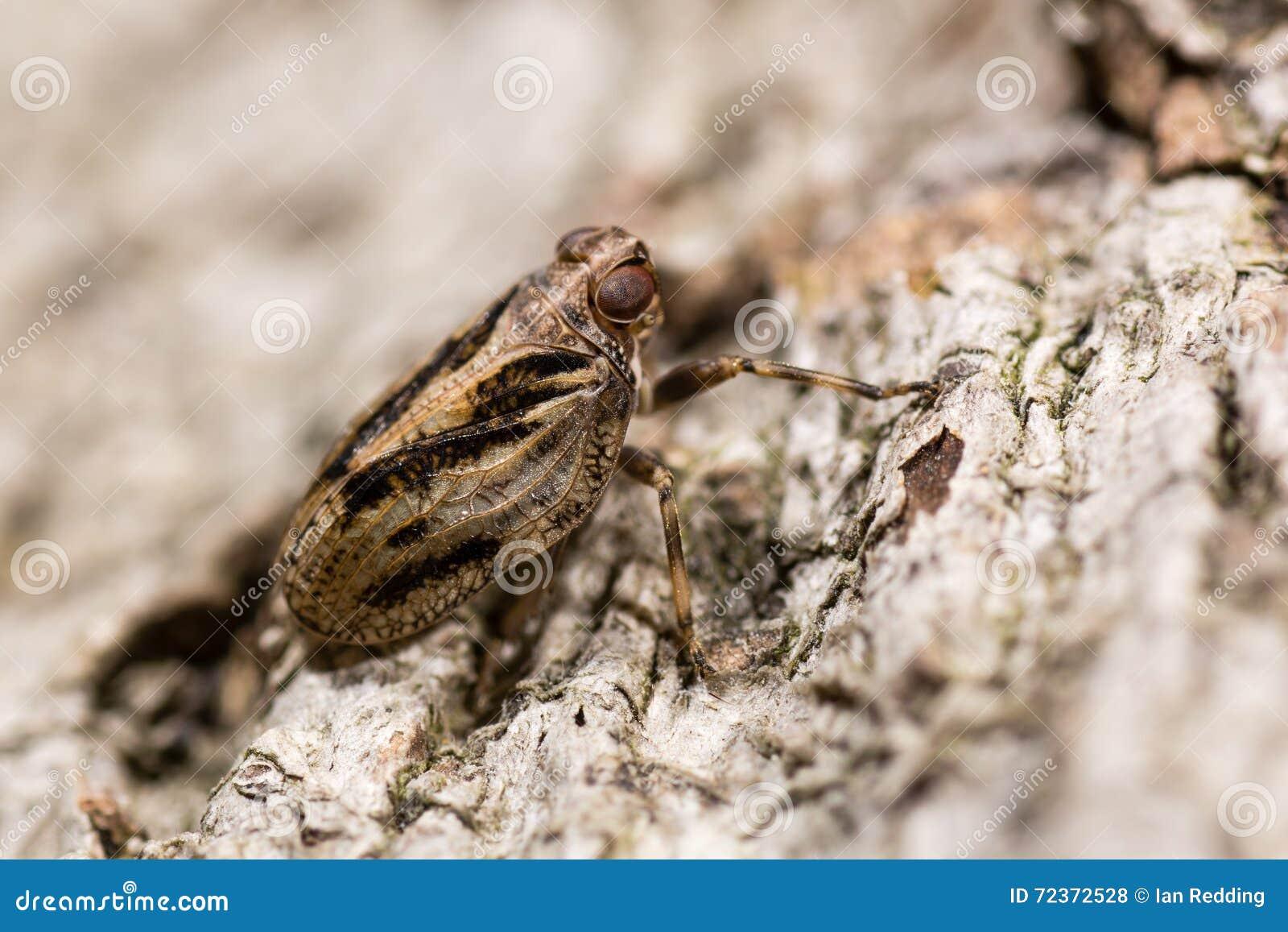 Issus coleoptratus (Homoptera)