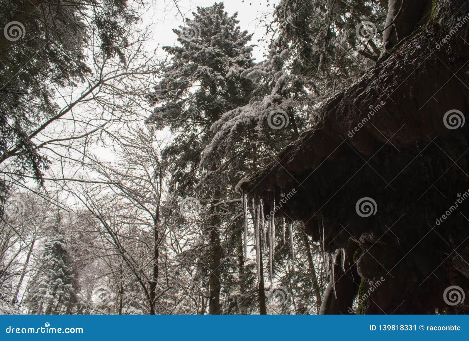 Istapp och nytt insnöat en skog med högväxta träd i Schweiz