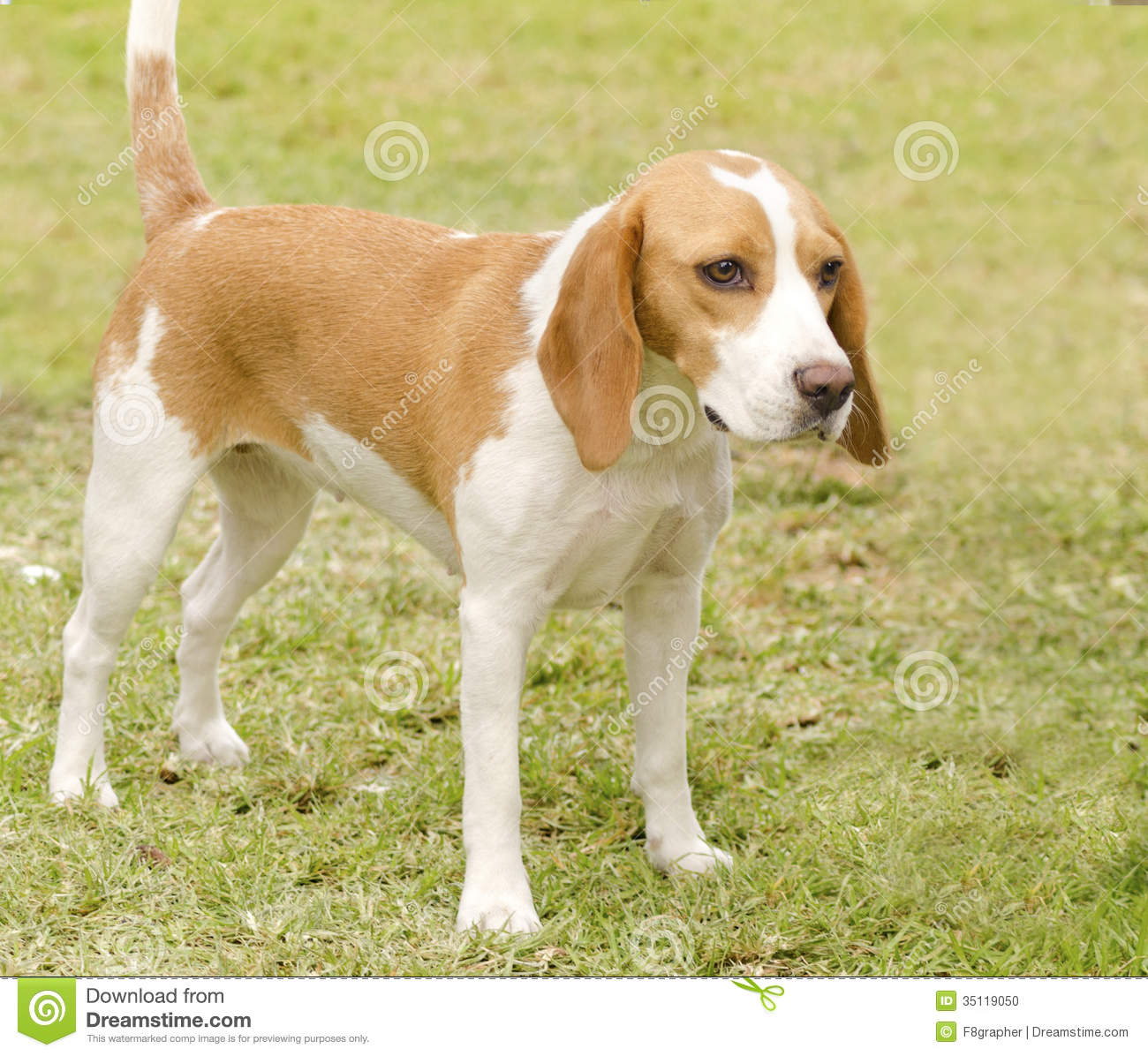 Orange And White Mix Breed Dog