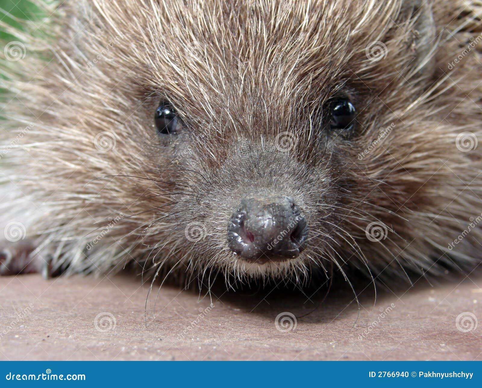 Istrice fotografia stock immagine di porcupine muso for Noleggio di cabine di istrice