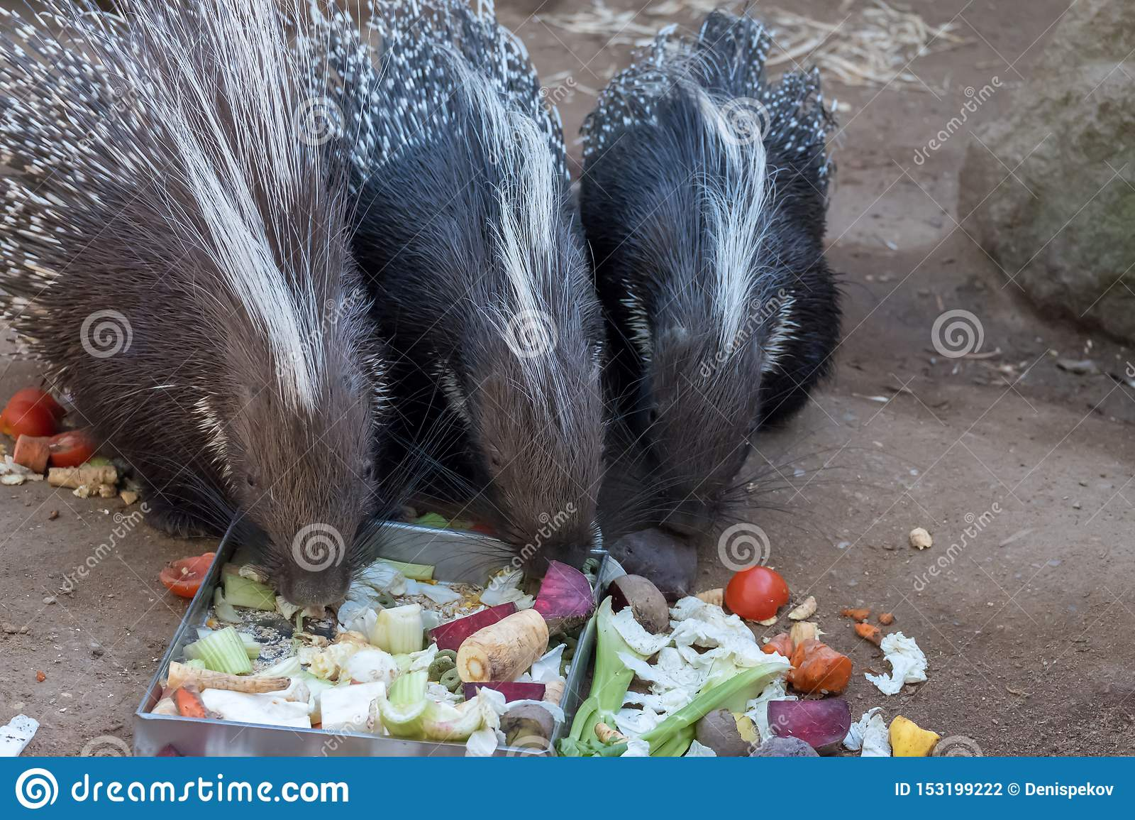 Istrice che mangia l esterno della barbabietola nel recinto chiuso