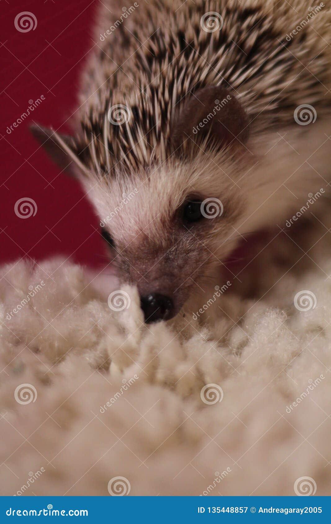Istrice che odora il tappeto