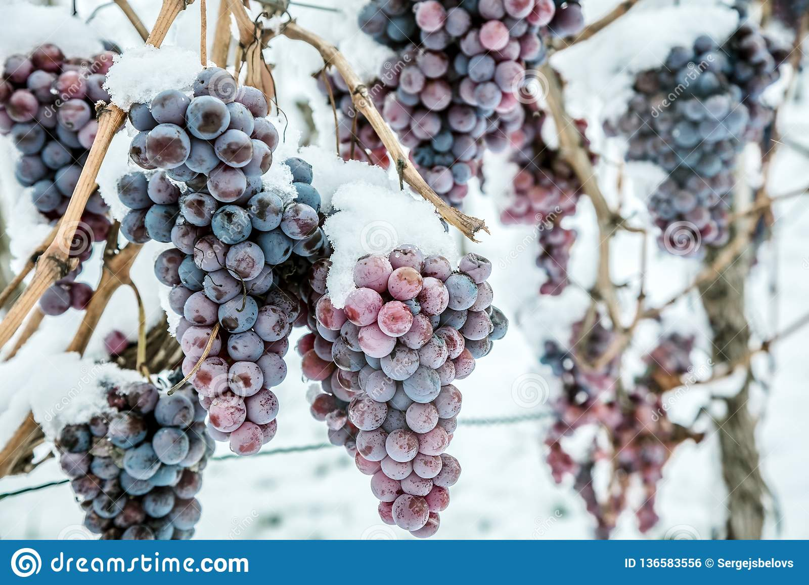 Isvin Röda druvor för vin för isvin i vintervillkor och snö
