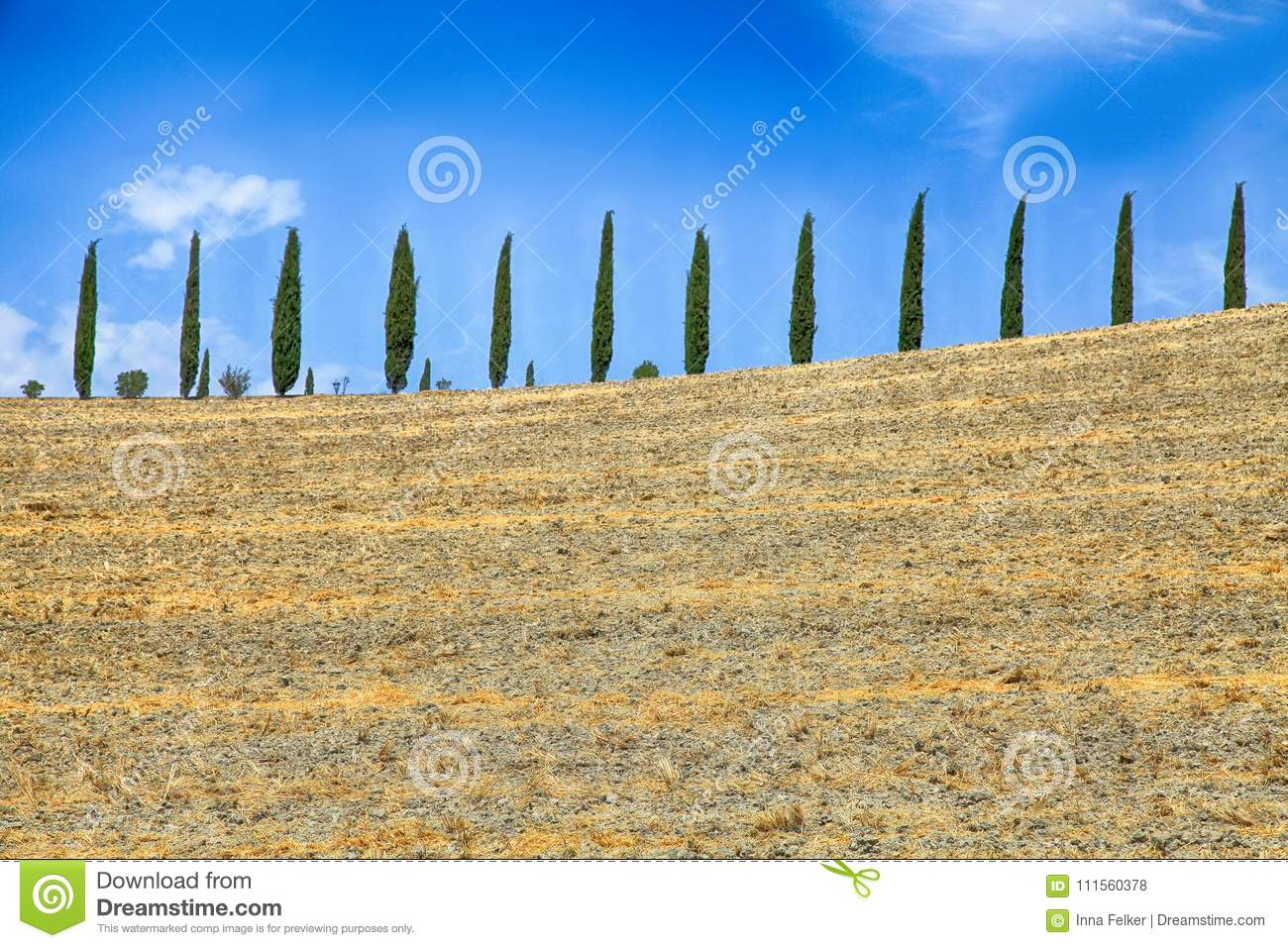 Italian cypress trees rows and yellow field rural landscape, Tuscany, Italy.
