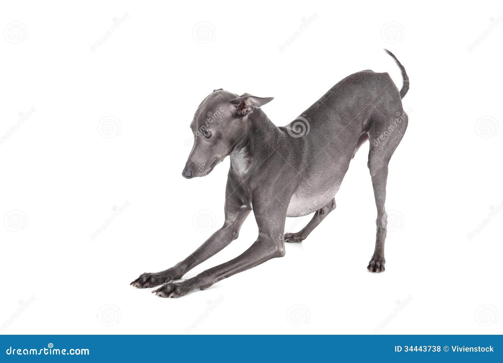 Italian Greyhound Blue Color Royalty Free Stock Photos - Image ...