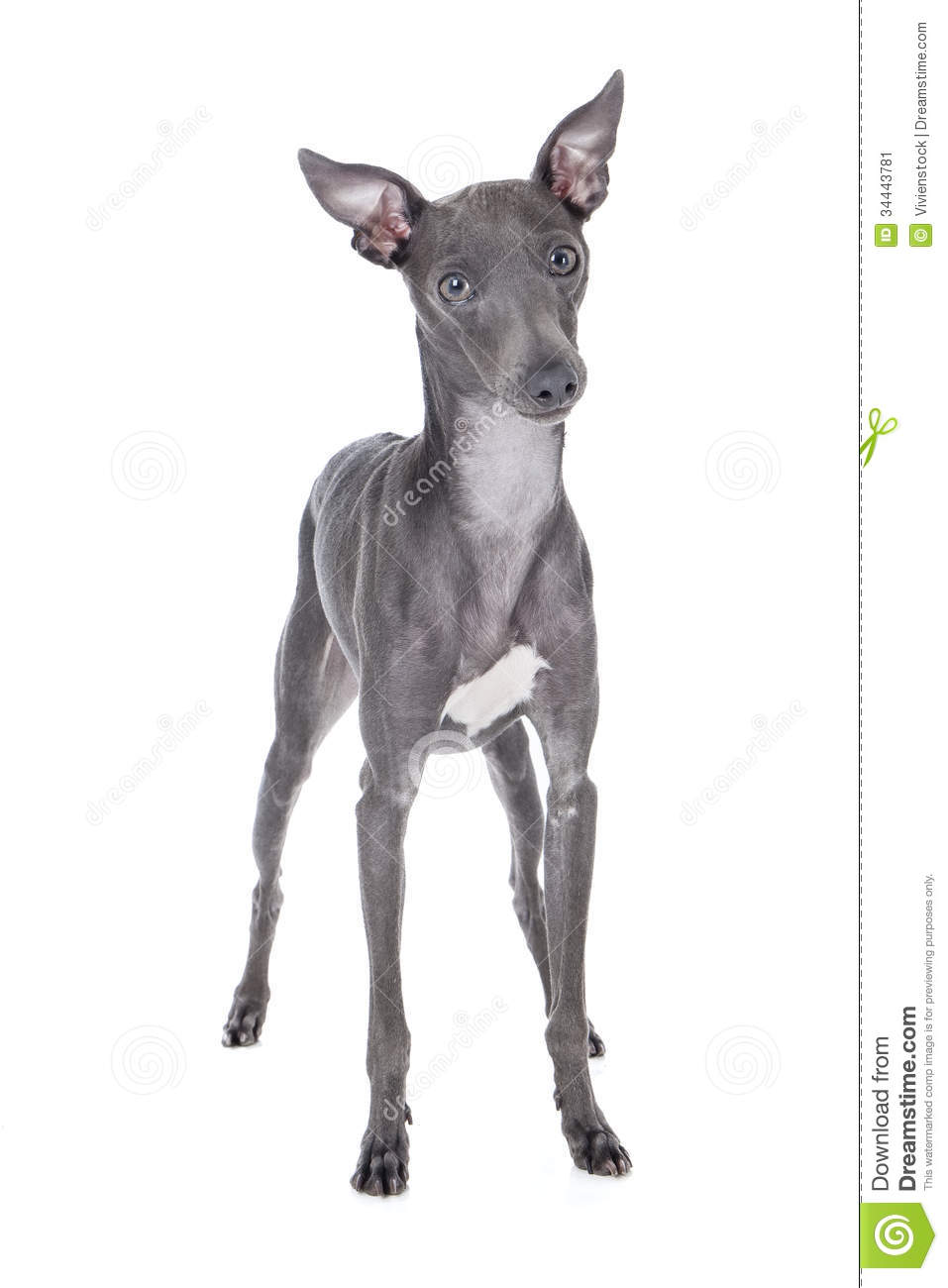 Italian Greyhound Blue Color Stock Image - Image: 34443781