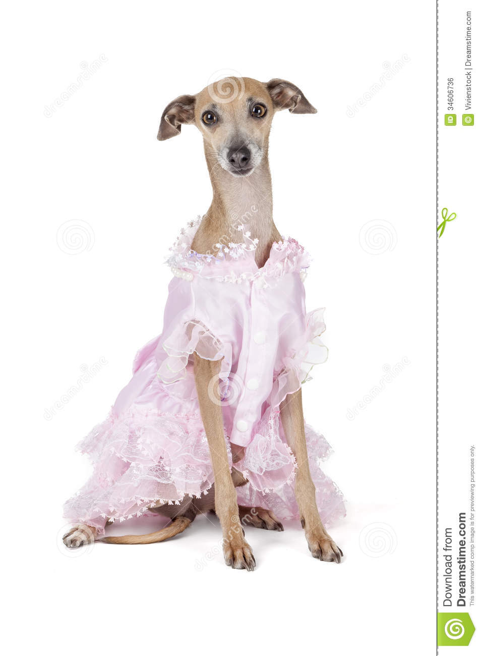 White christmas wedding dress - Italian Greyhound In A Dress On A White Background In Studio