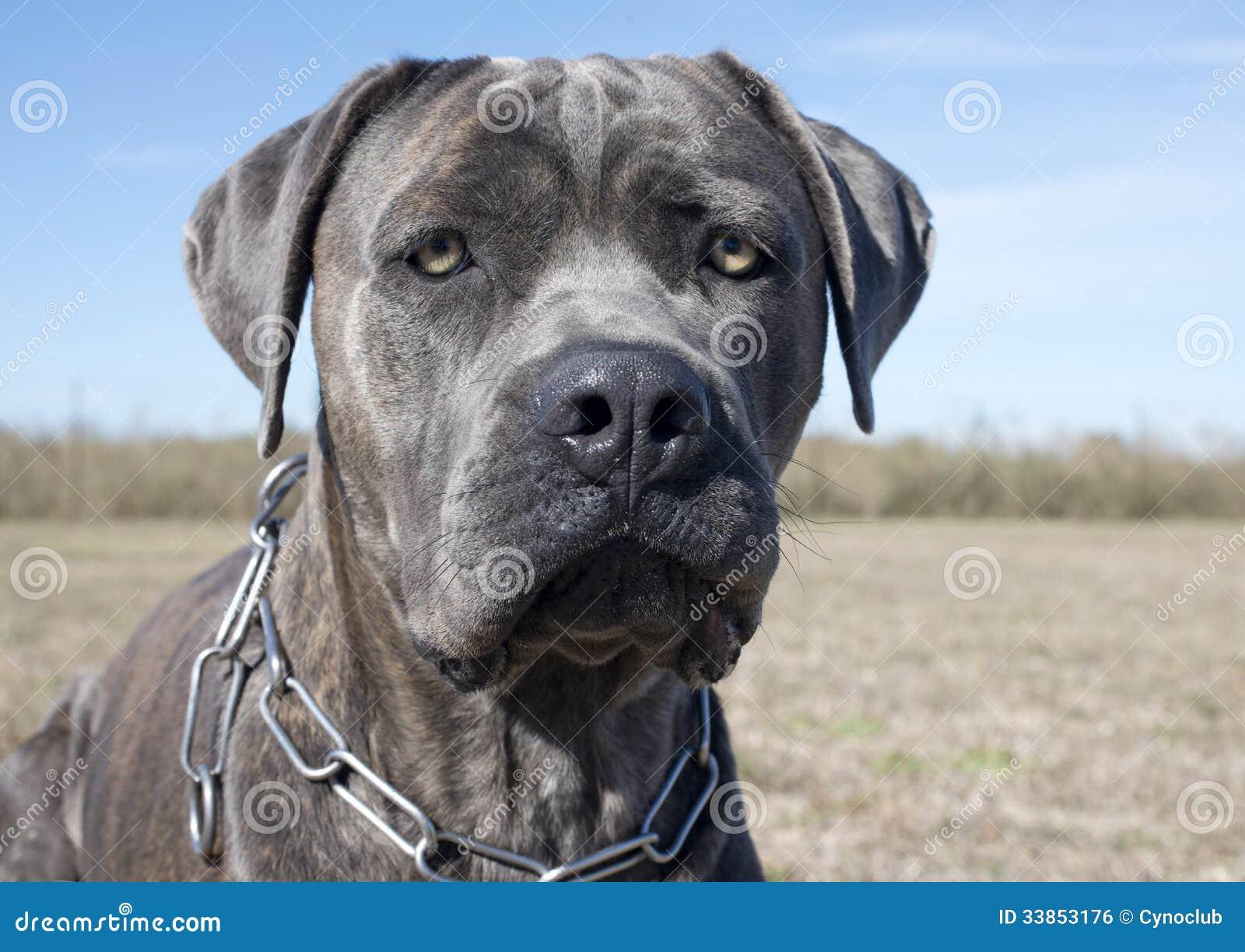 Italian Mastiff Stock Photo Image Of Blue Beautiful 33853176